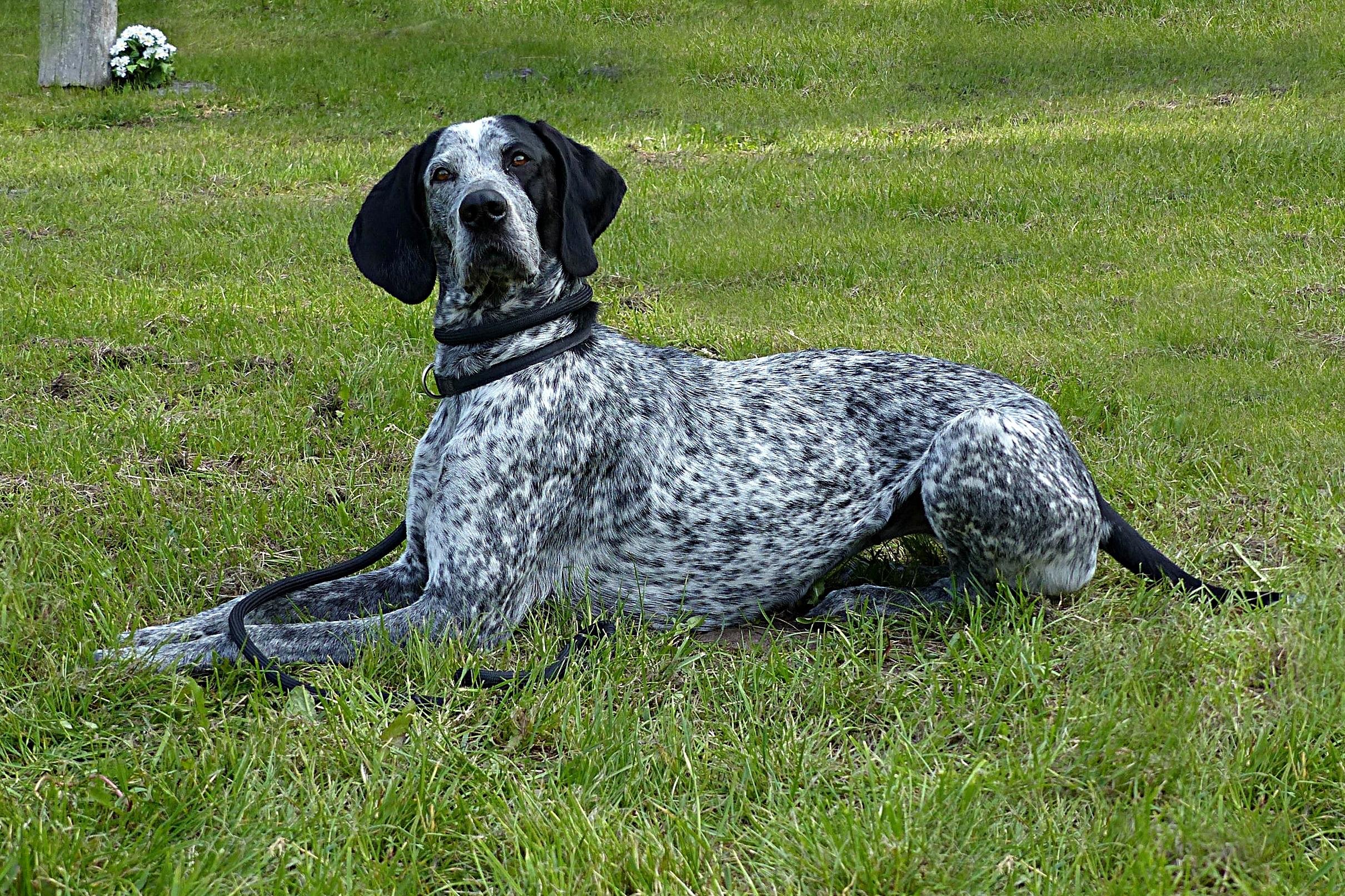 Free Images : grass, animal, black white, hunting dog, vertebrate ...