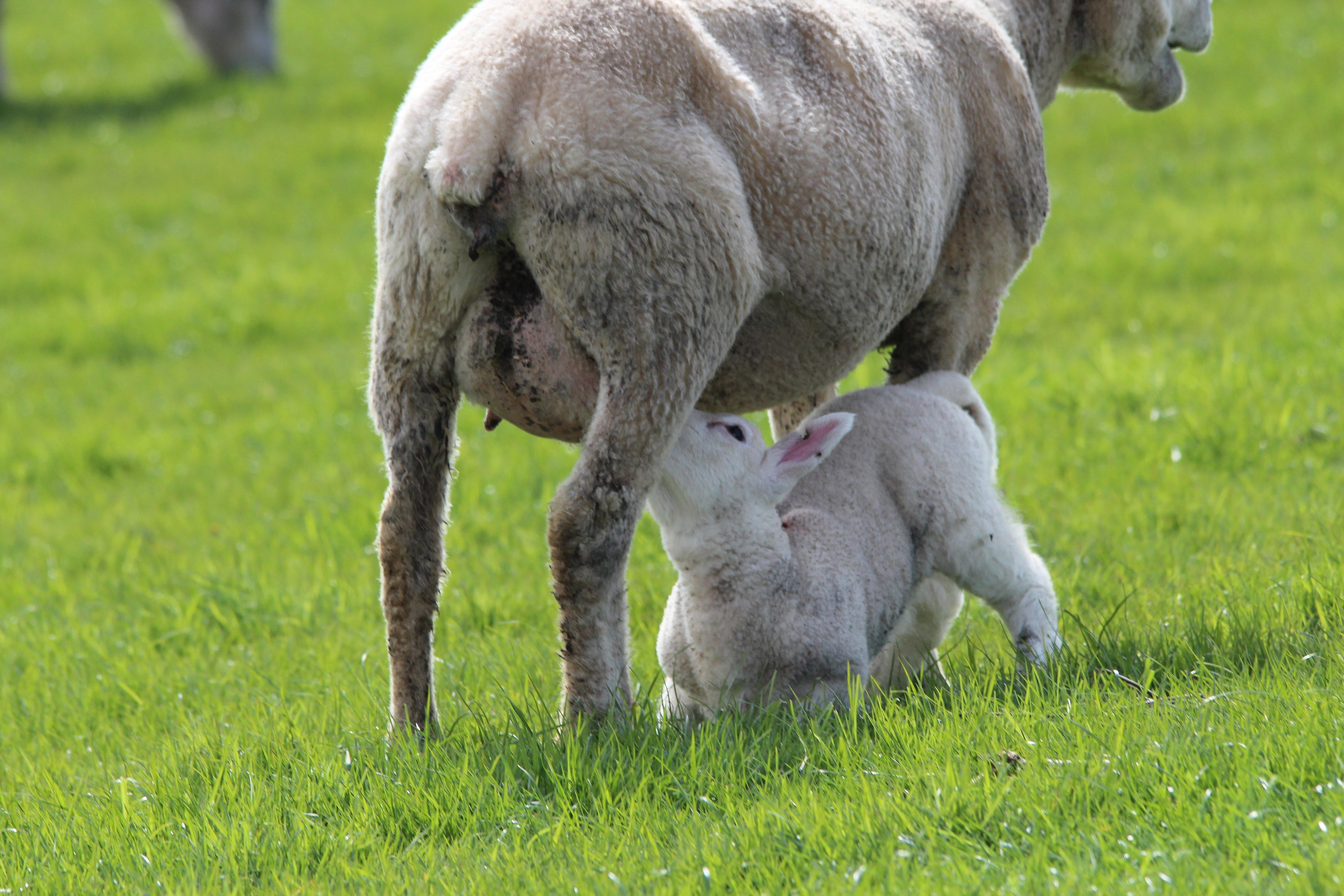 Images gratuites herbe chien faune p turage mouton - Photos de moutons gratuites ...