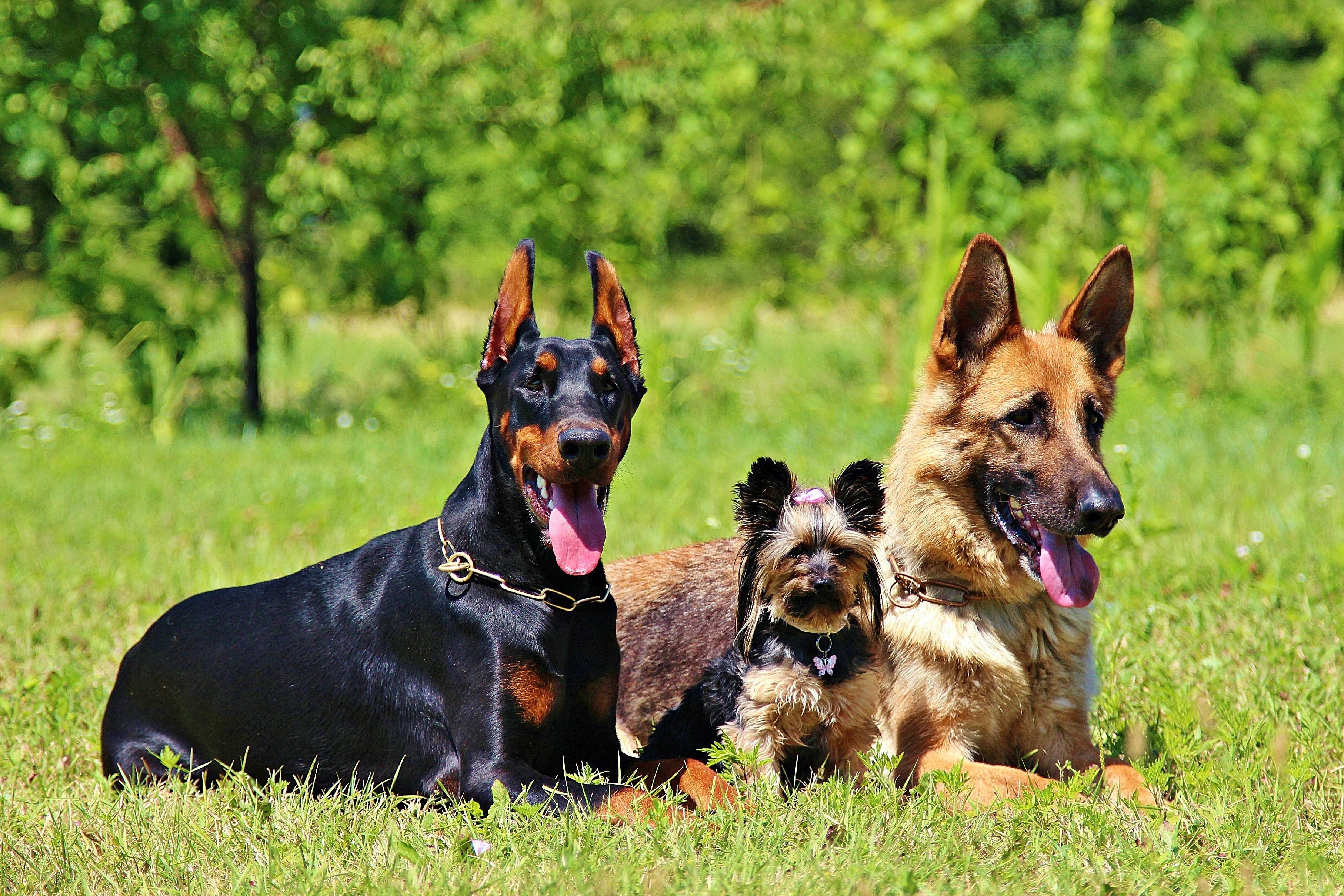 немцы собаки картинки