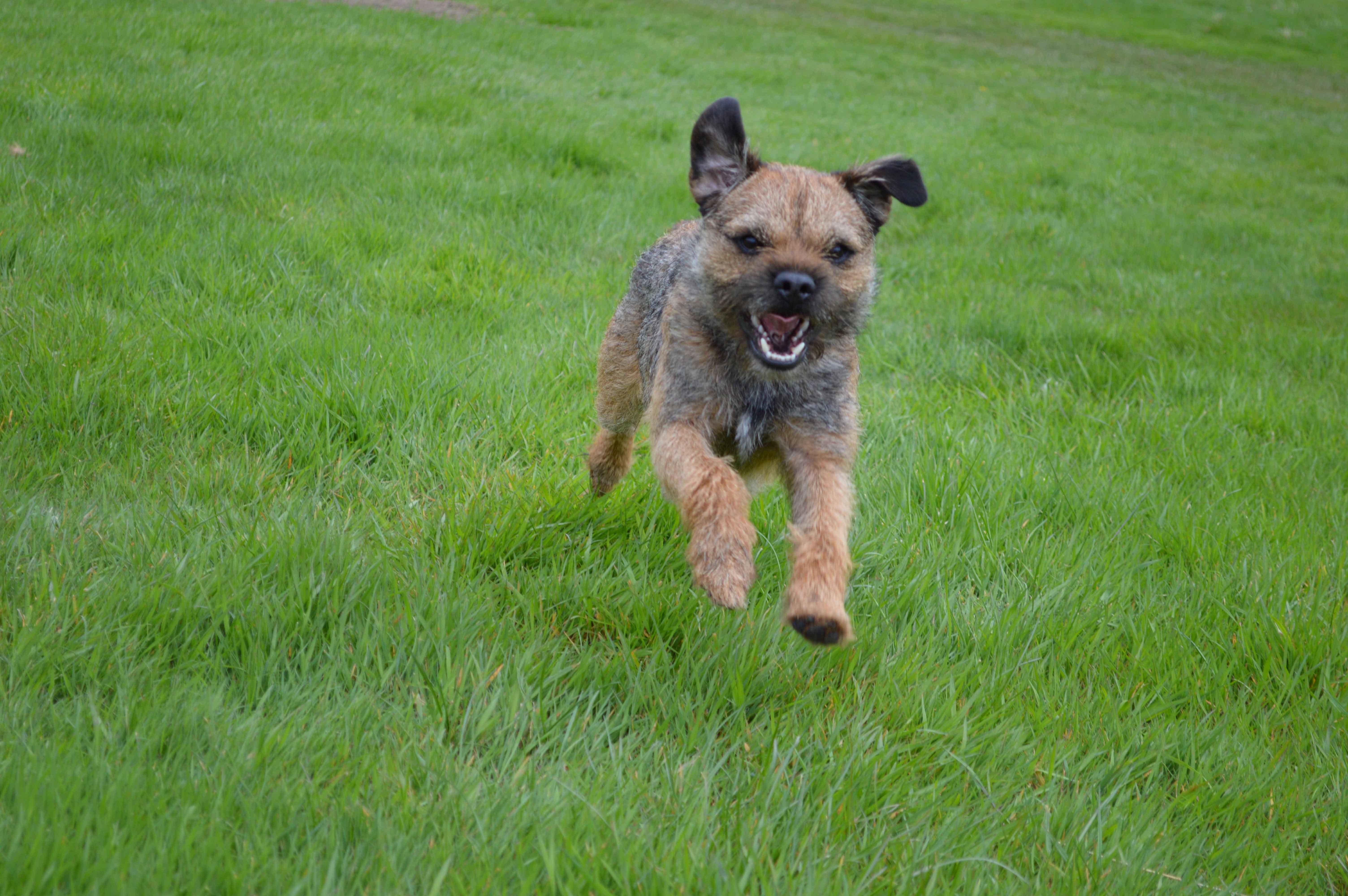 Most Inspiring Cairn Terrier Ball Adorable Dog - grass-dog-mammal-vertebrate-dog-breed-terrier-cairn-terrier-dog-like-mammal-carnivoran-dog-breed-group-german-shepherd-dog-163433  HD_37682  .jpg
