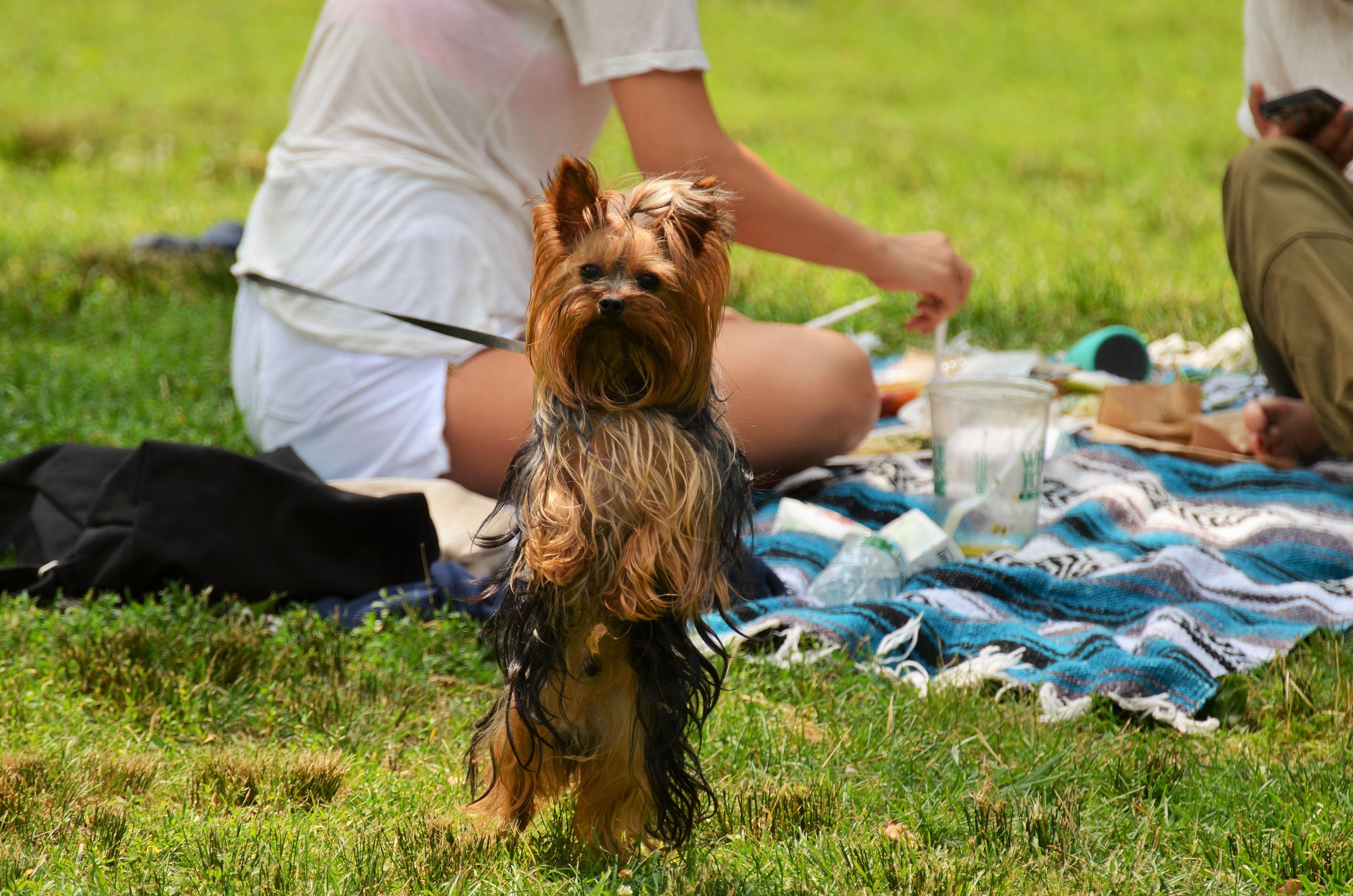 gratis afbeeldingen gras new york zomer ontbijt centrale park picknick yorkshire dieren. Black Bedroom Furniture Sets. Home Design Ideas