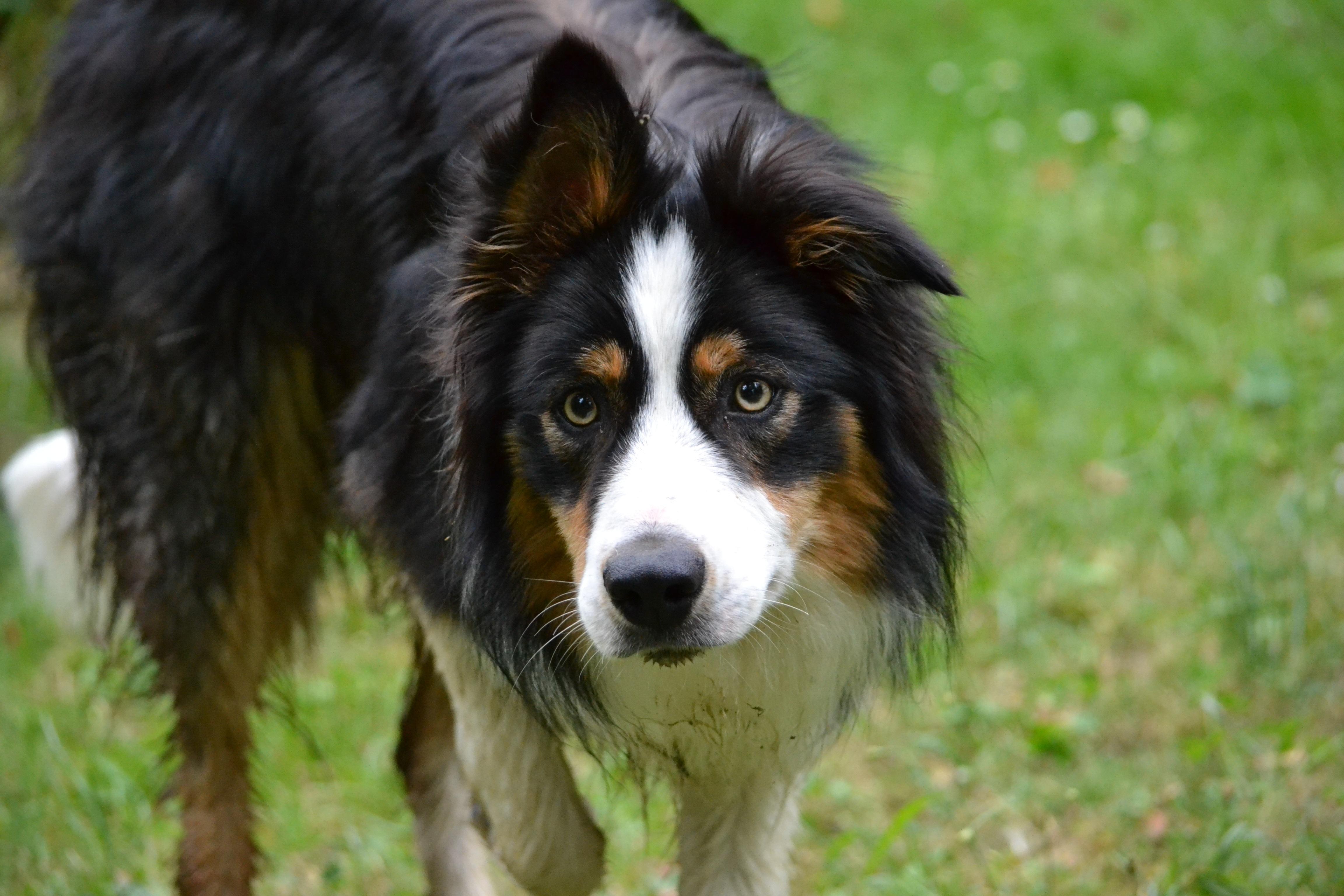 Entlebucher Mountain Dog Australia