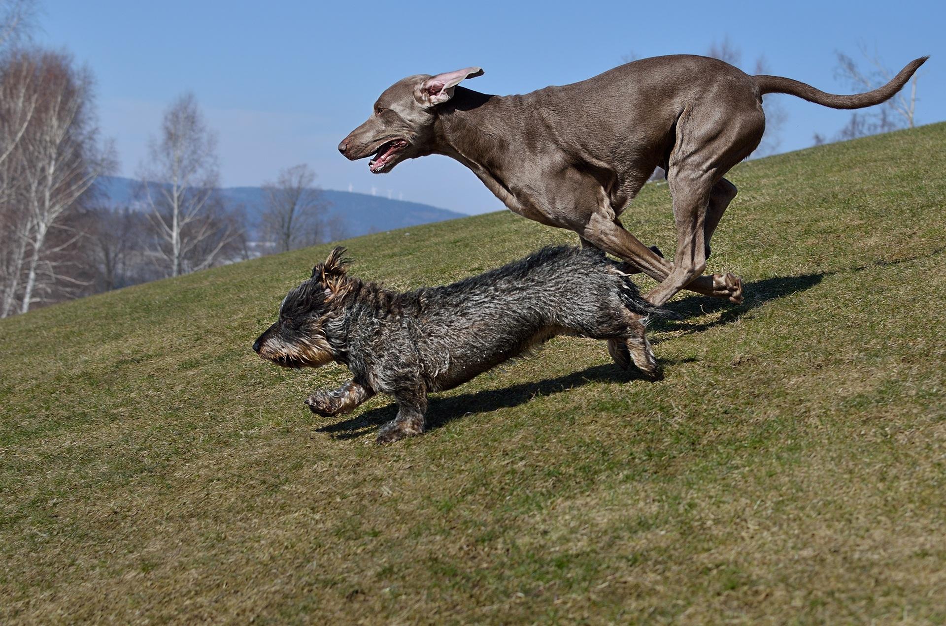 free images grass weimaraner hunting dog dog breed dachshund