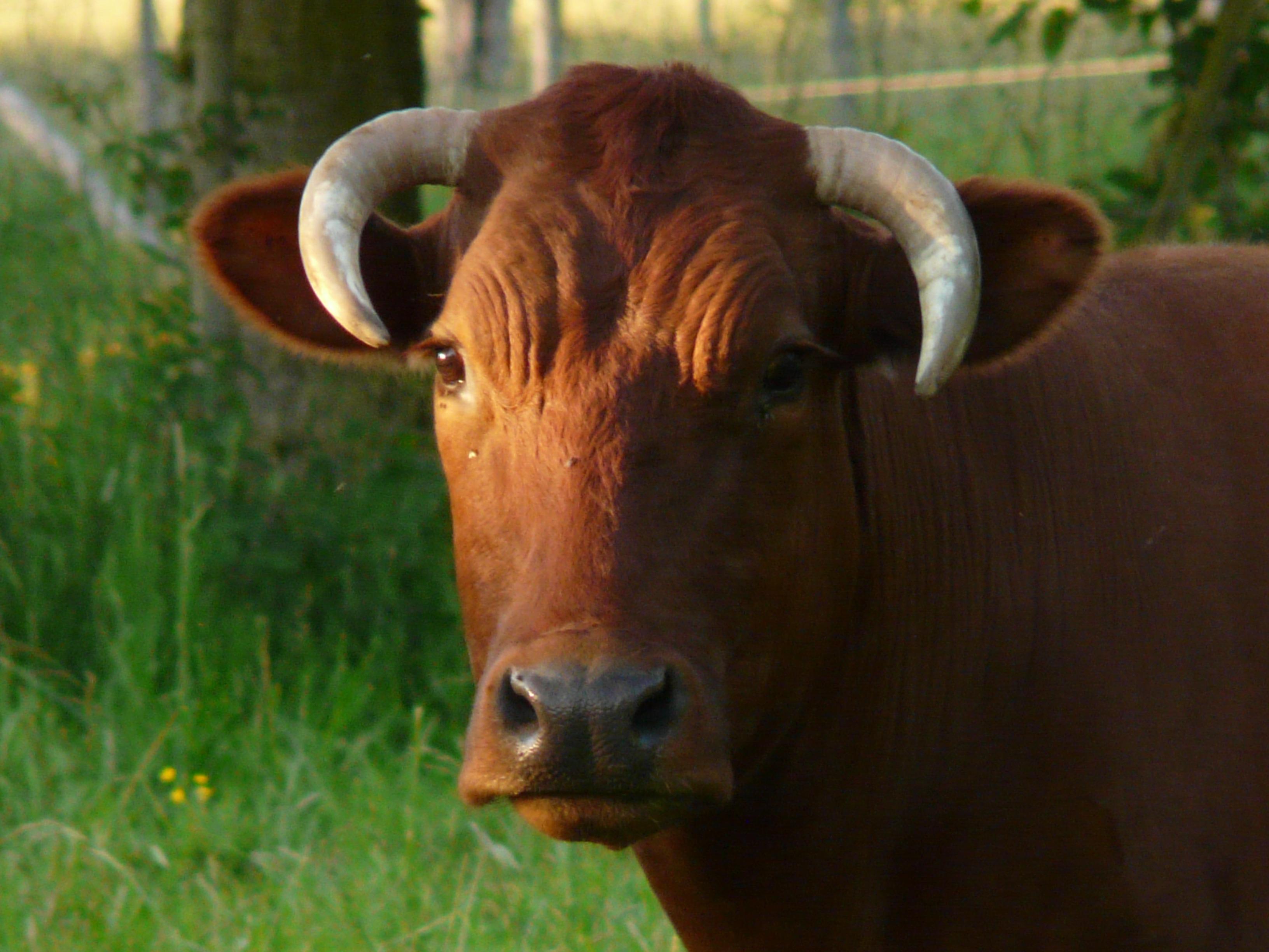 картинки быка домашнего нет возможности
