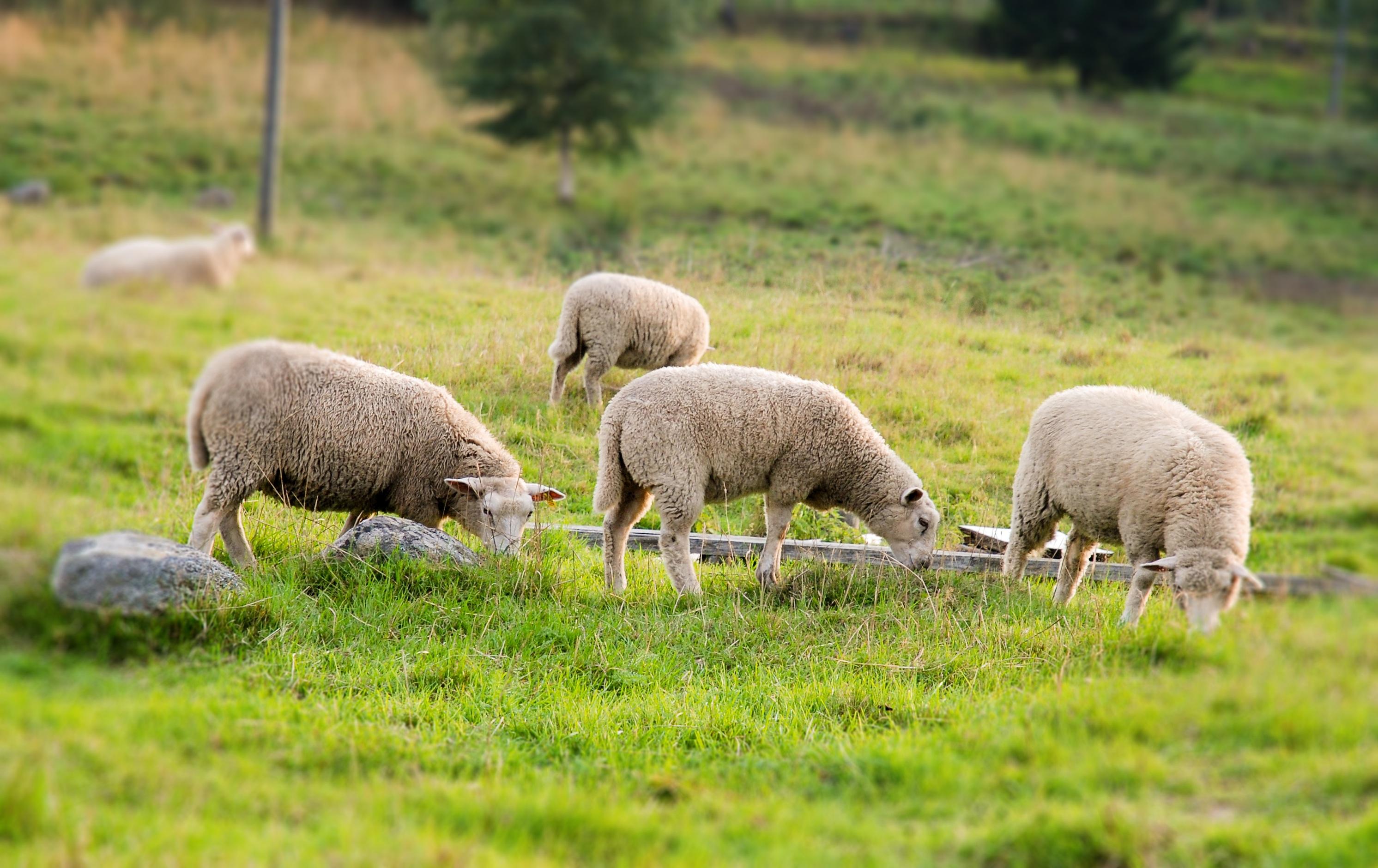 картинки луг с овцами сможем быстро разместить