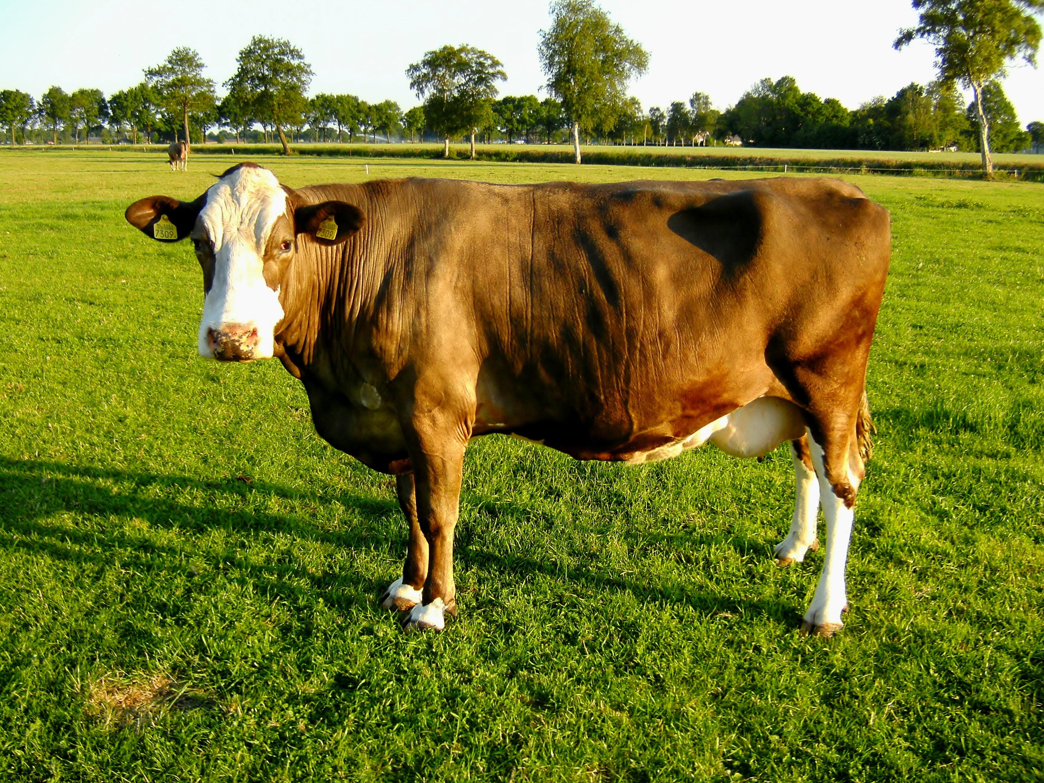 Корова картинки, библейскую