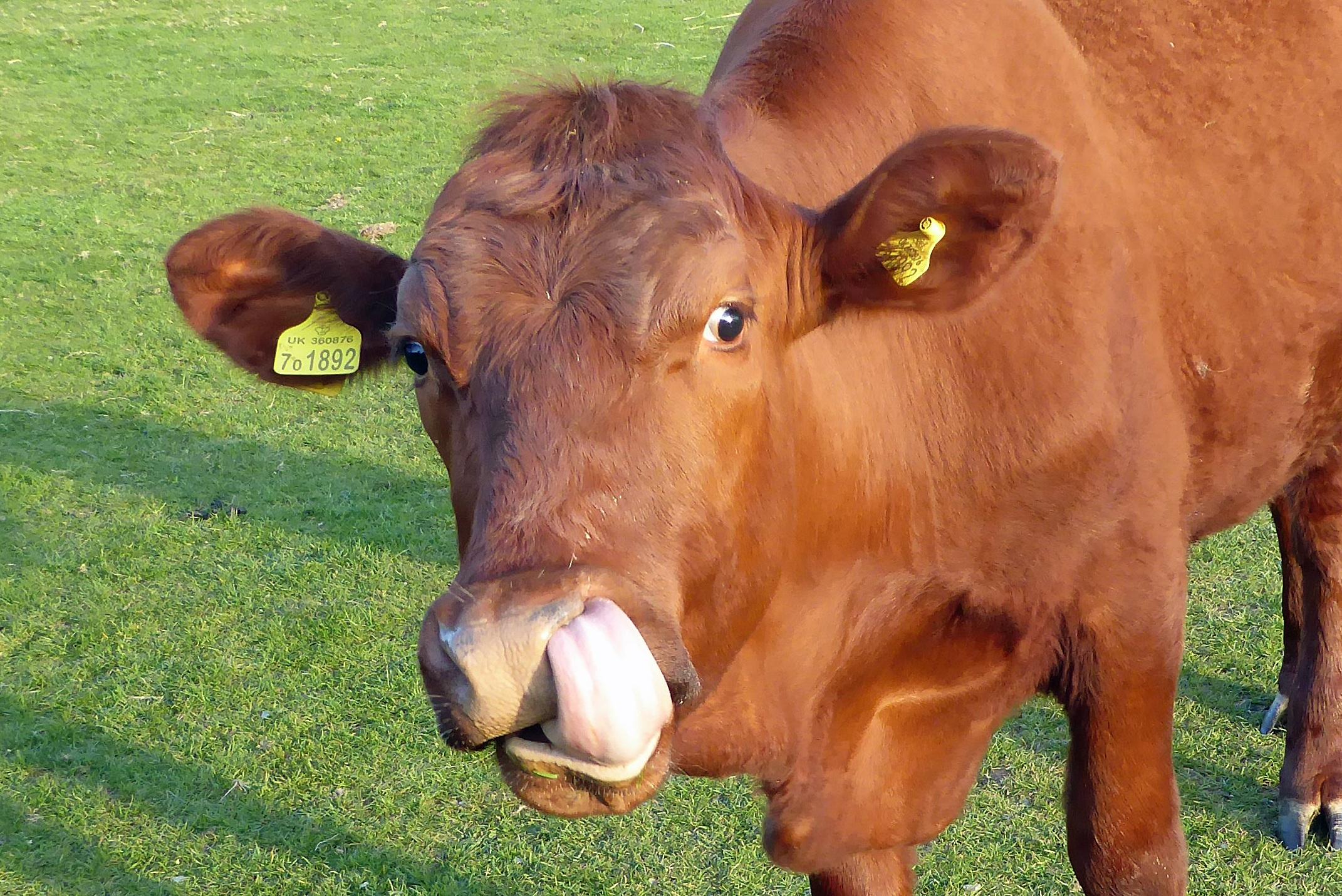 Images gratuites herbe champ ferme prairie rouge p turage b tail marron faune veau - Photo de vache drole ...