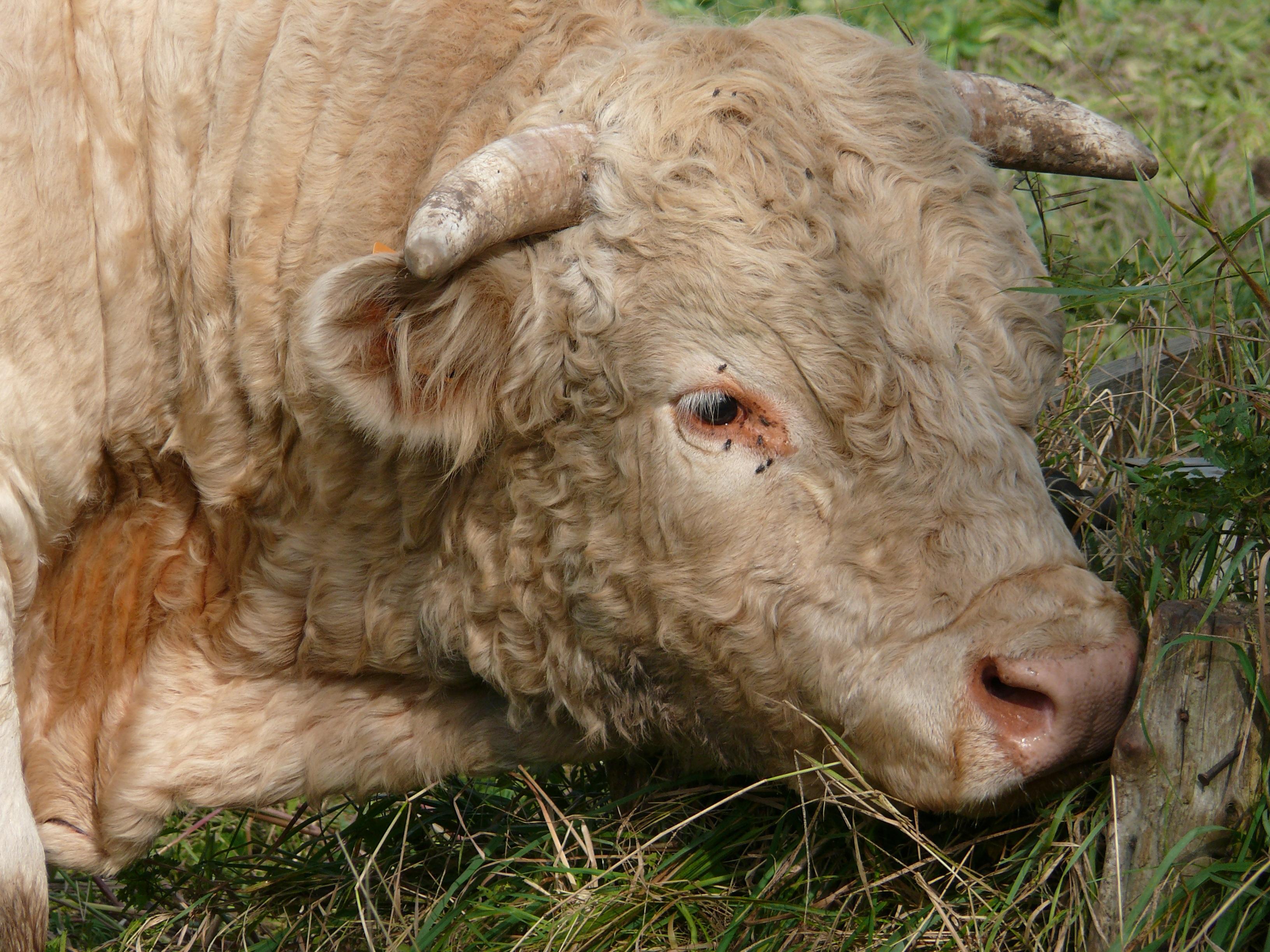 фото бараны и быки когда хорошо владеете