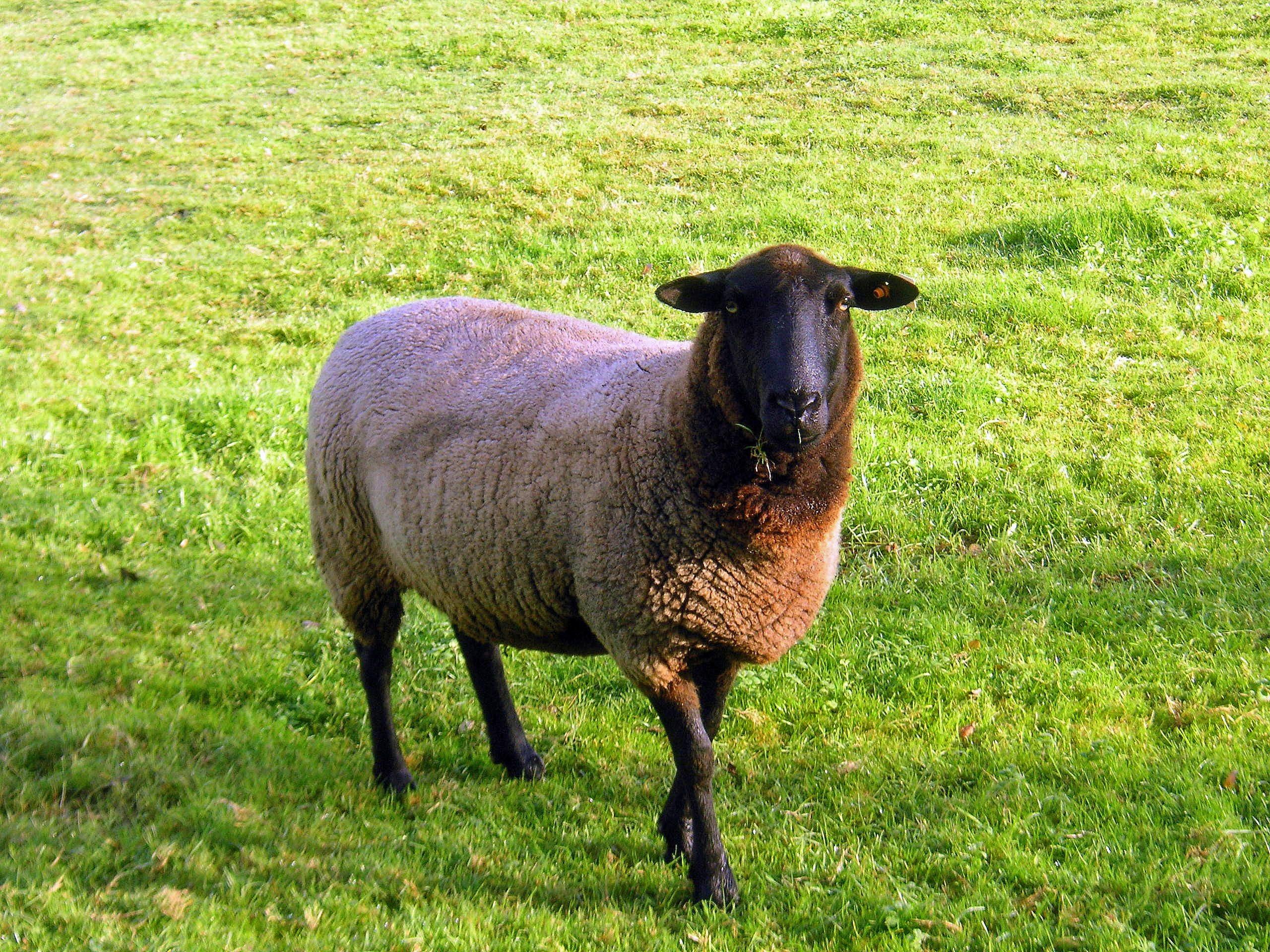 Images gratuites herbe champ prairie prairie animal - Photos de moutons gratuites ...