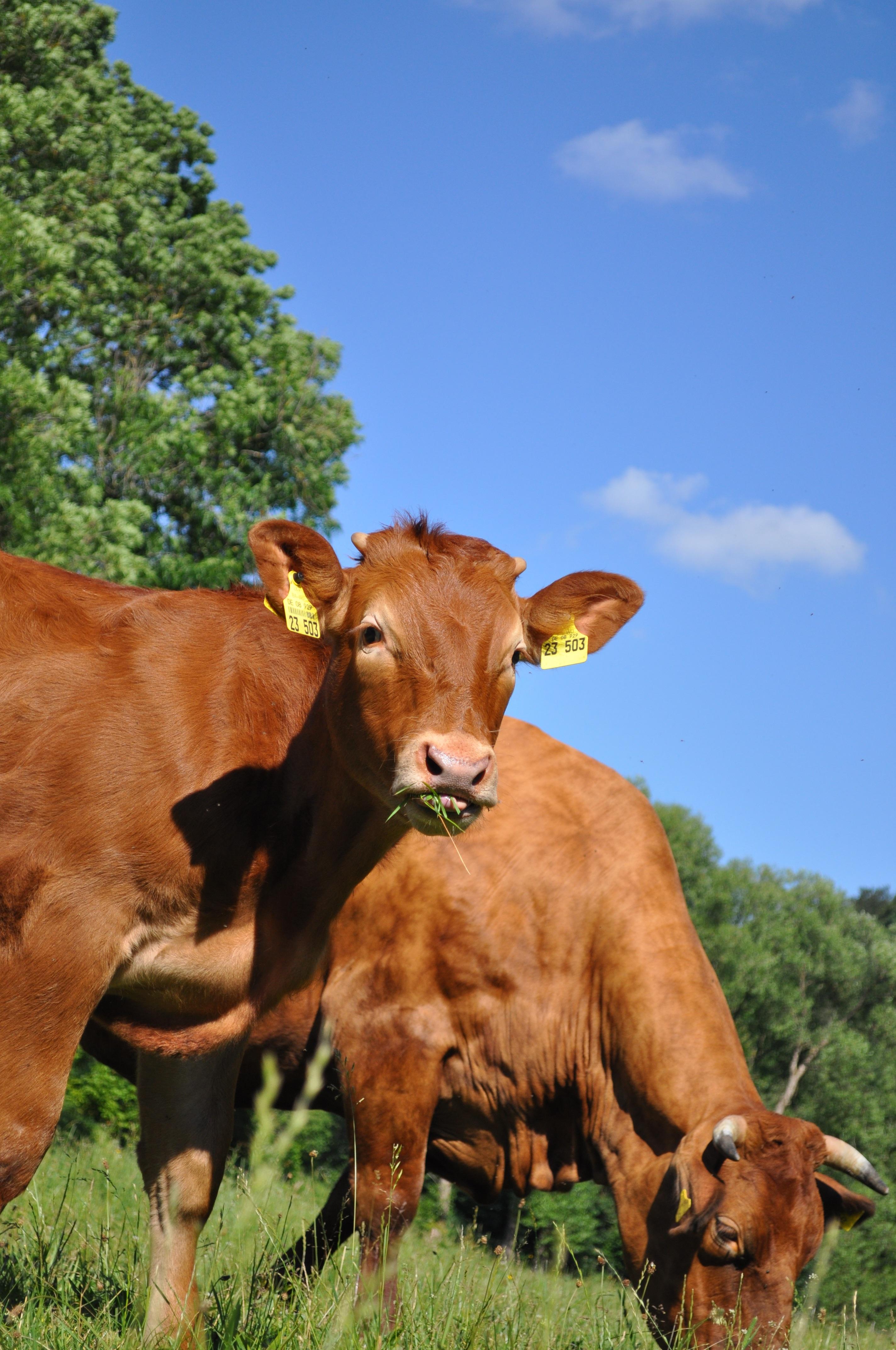 Fotoğraf çimen Alan çiftlik çayır Sığırlar Sürü Otlak
