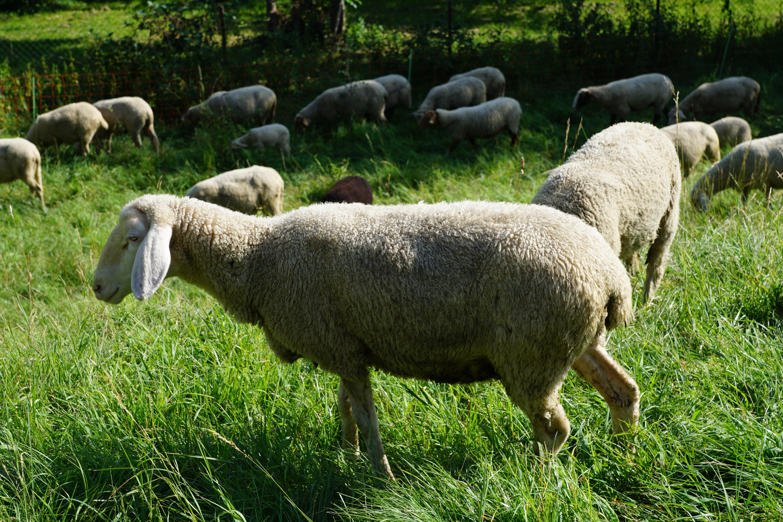 Images gratuites herbe champ prairie animal vert - Photos de moutons gratuites ...
