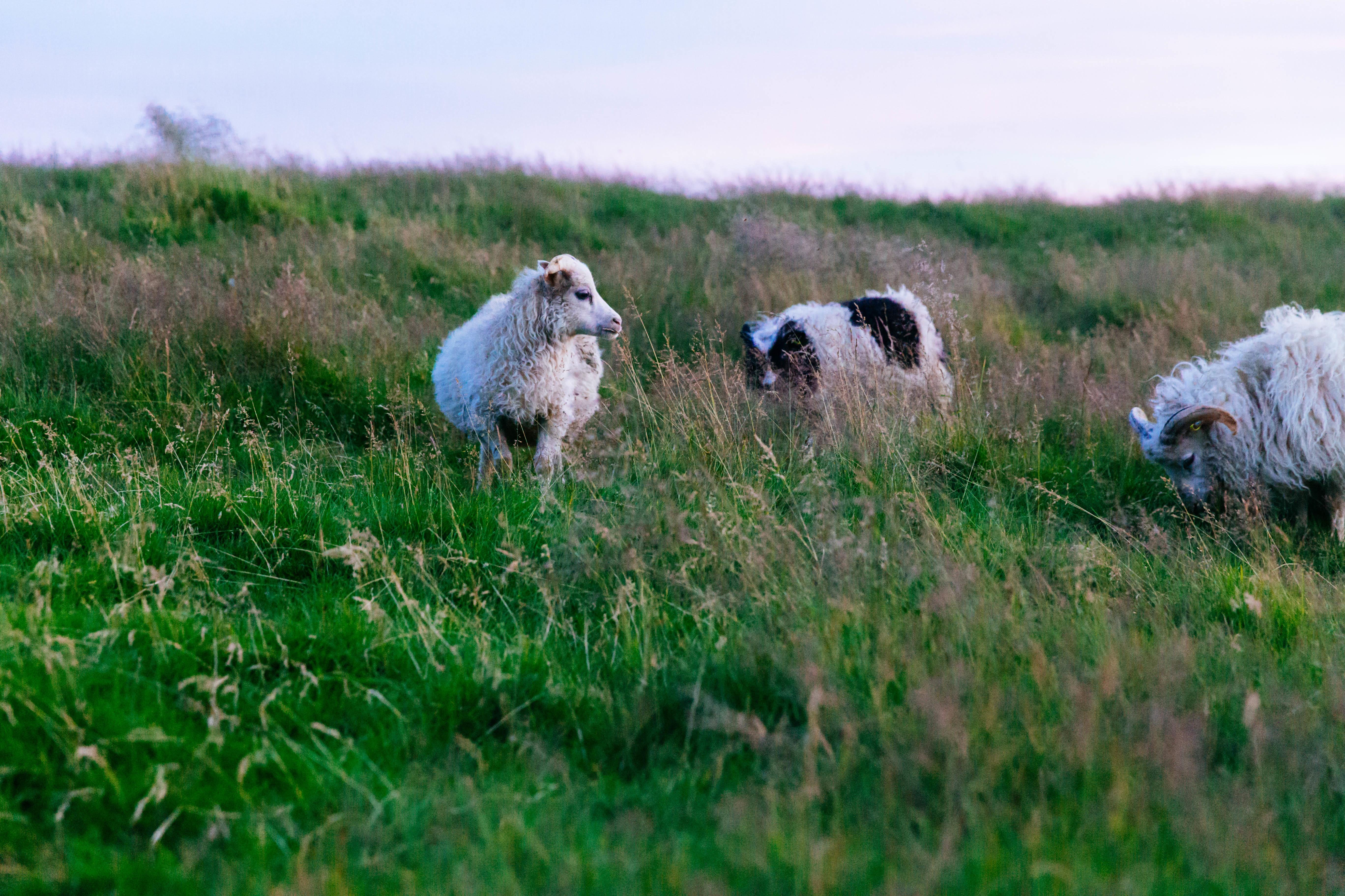 качели картинки луг с овцами речного