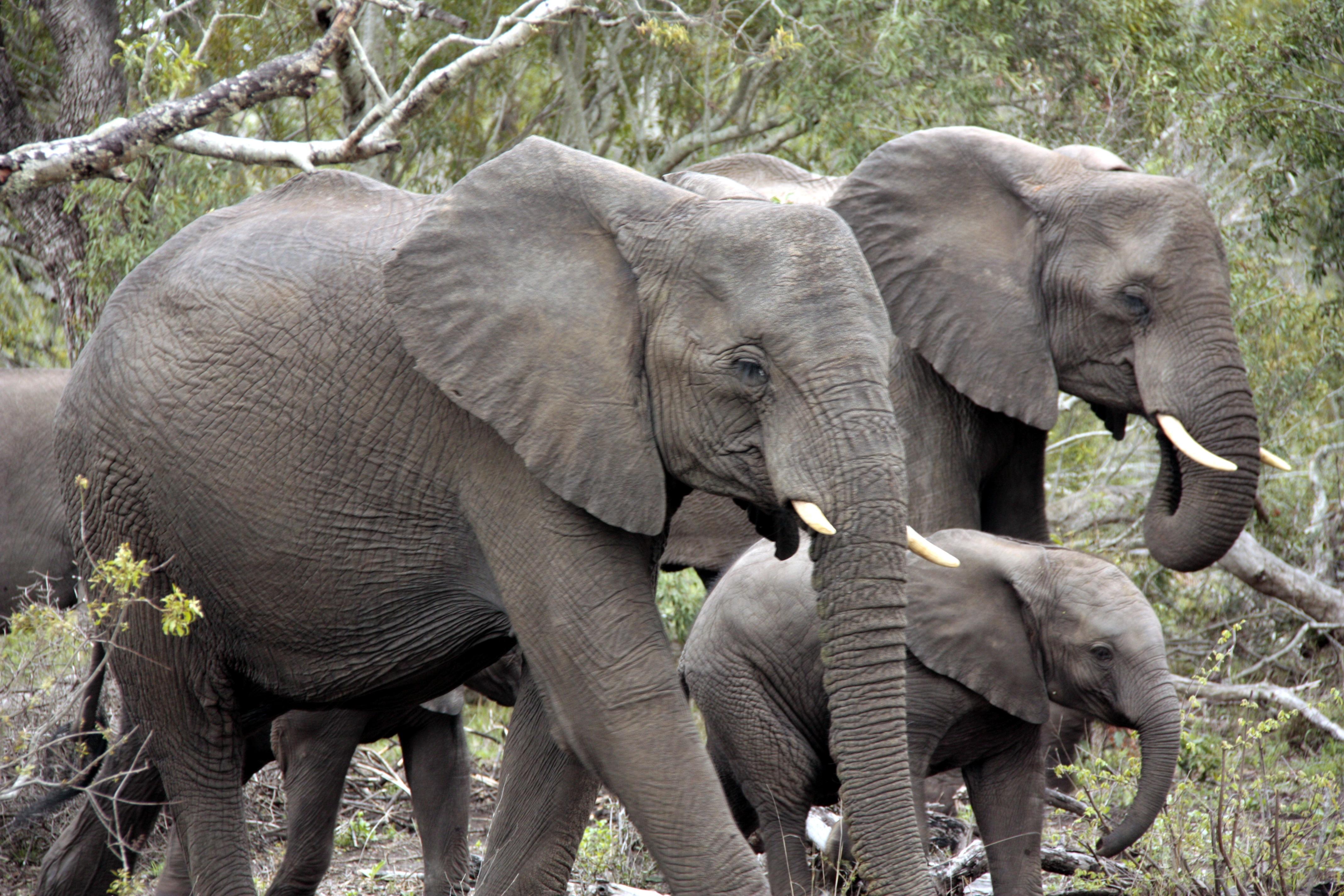 Images gratuites herbe troupeau faune afrique mammif re parc national l phant d fense - Photos d elephants gratuites ...