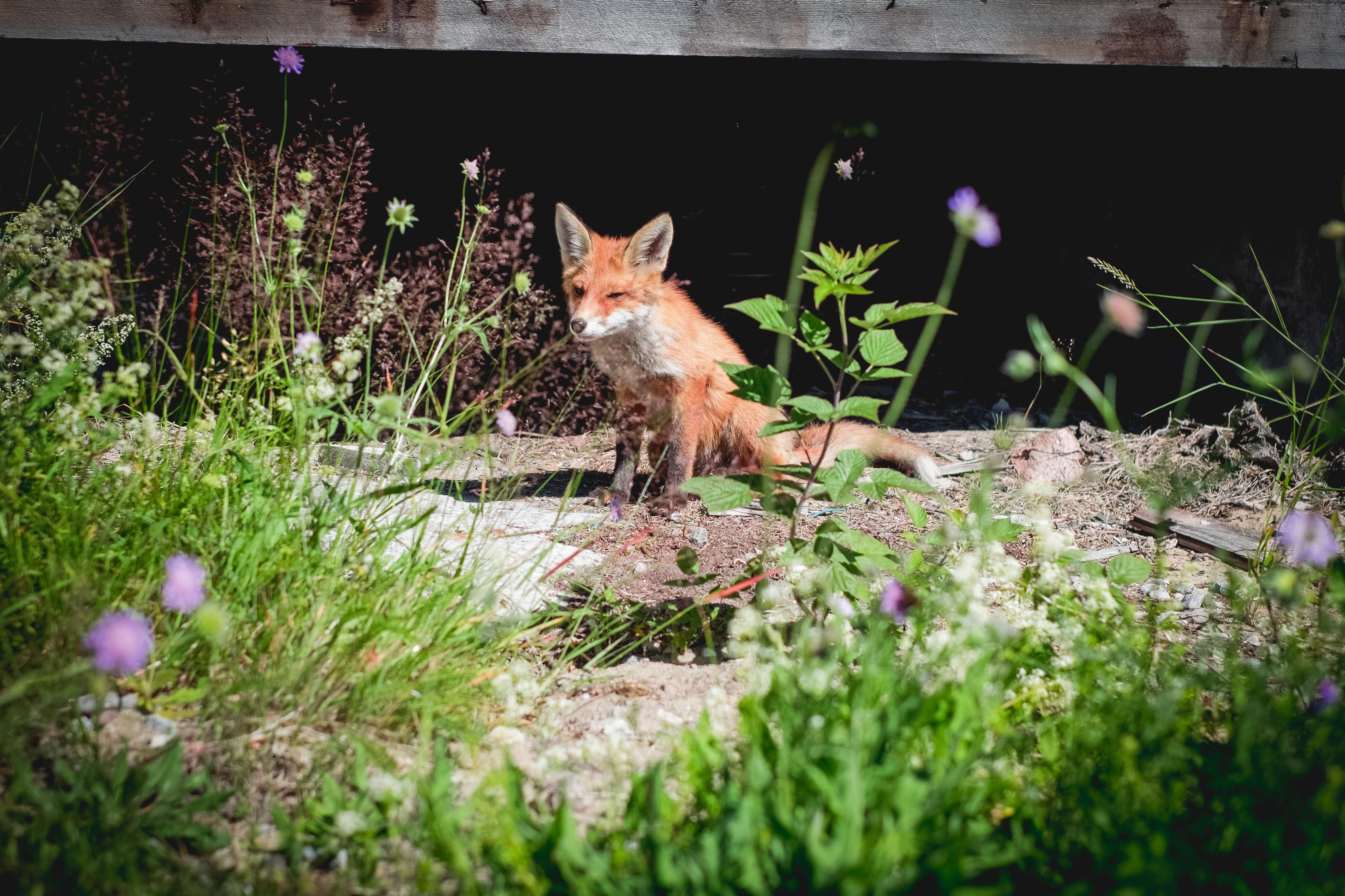 free images grass flower wildlife backyard mammal fox