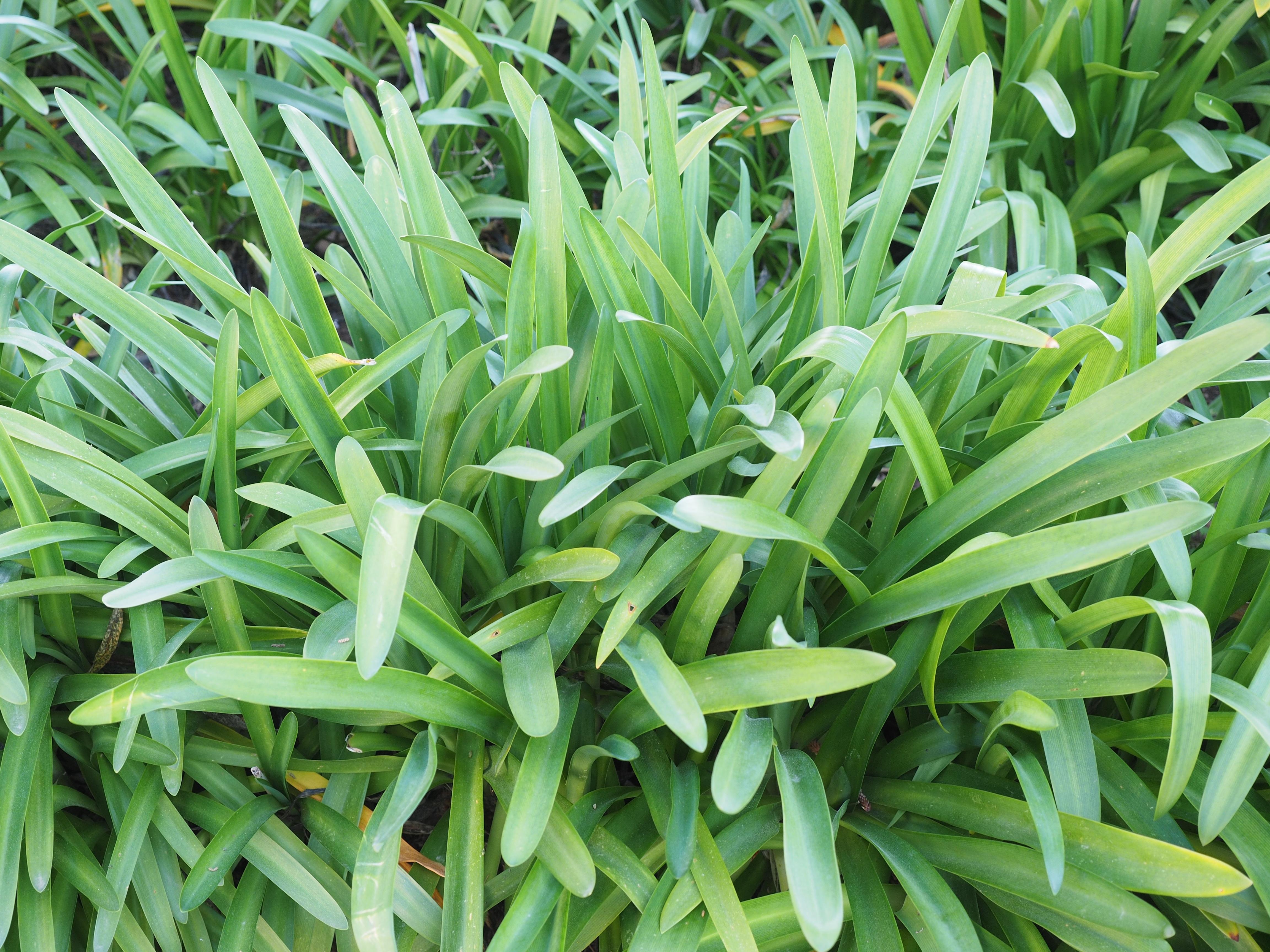 Gambar Pertumbuhan Menanam Halaman Rumput Hijau Herba Biji Tanaman Hias Bunga Menghasilkan Botani Daun Iris Belukar