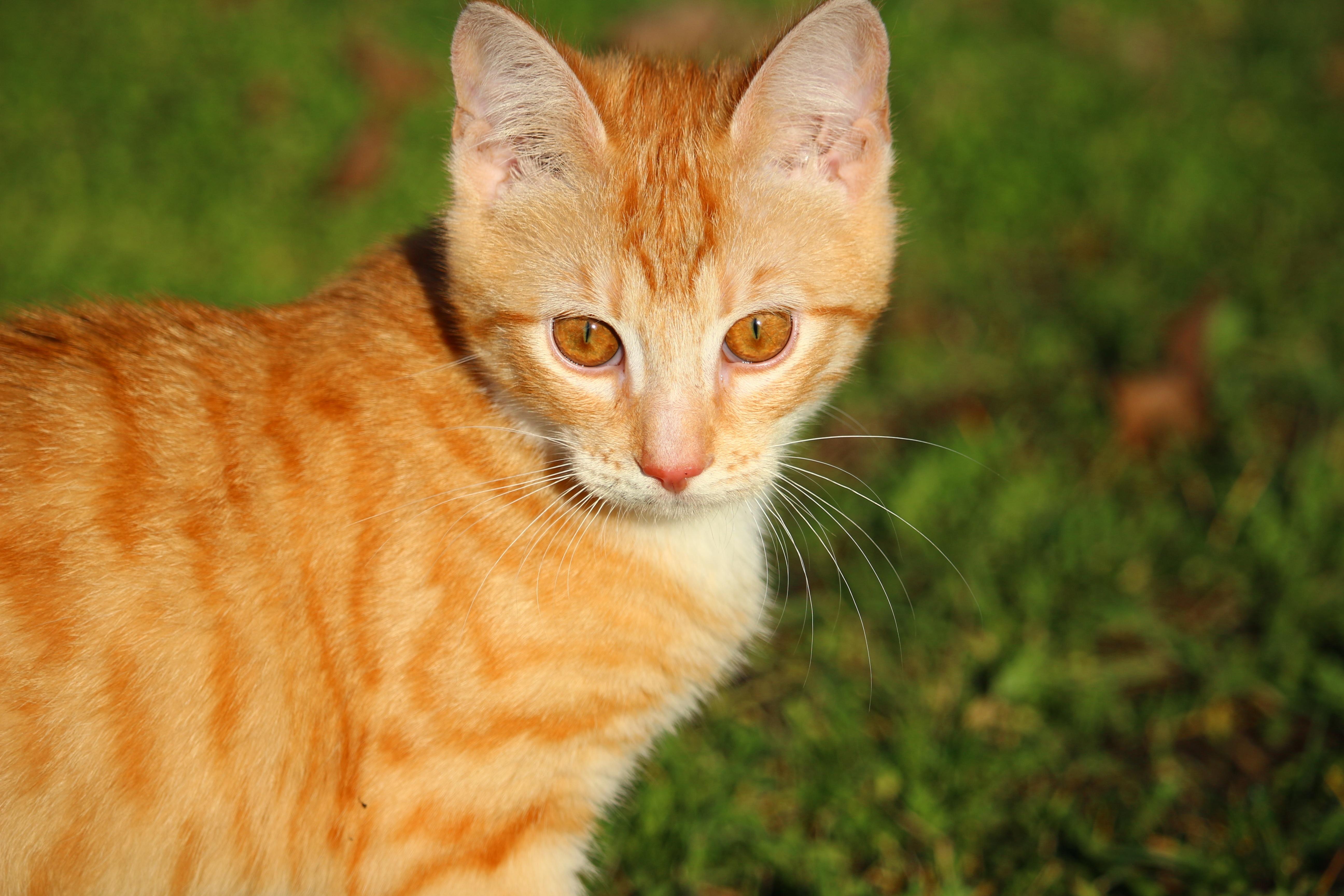 Free Images Grass Kitten Fauna Whiskers Savannah Vertebrate
