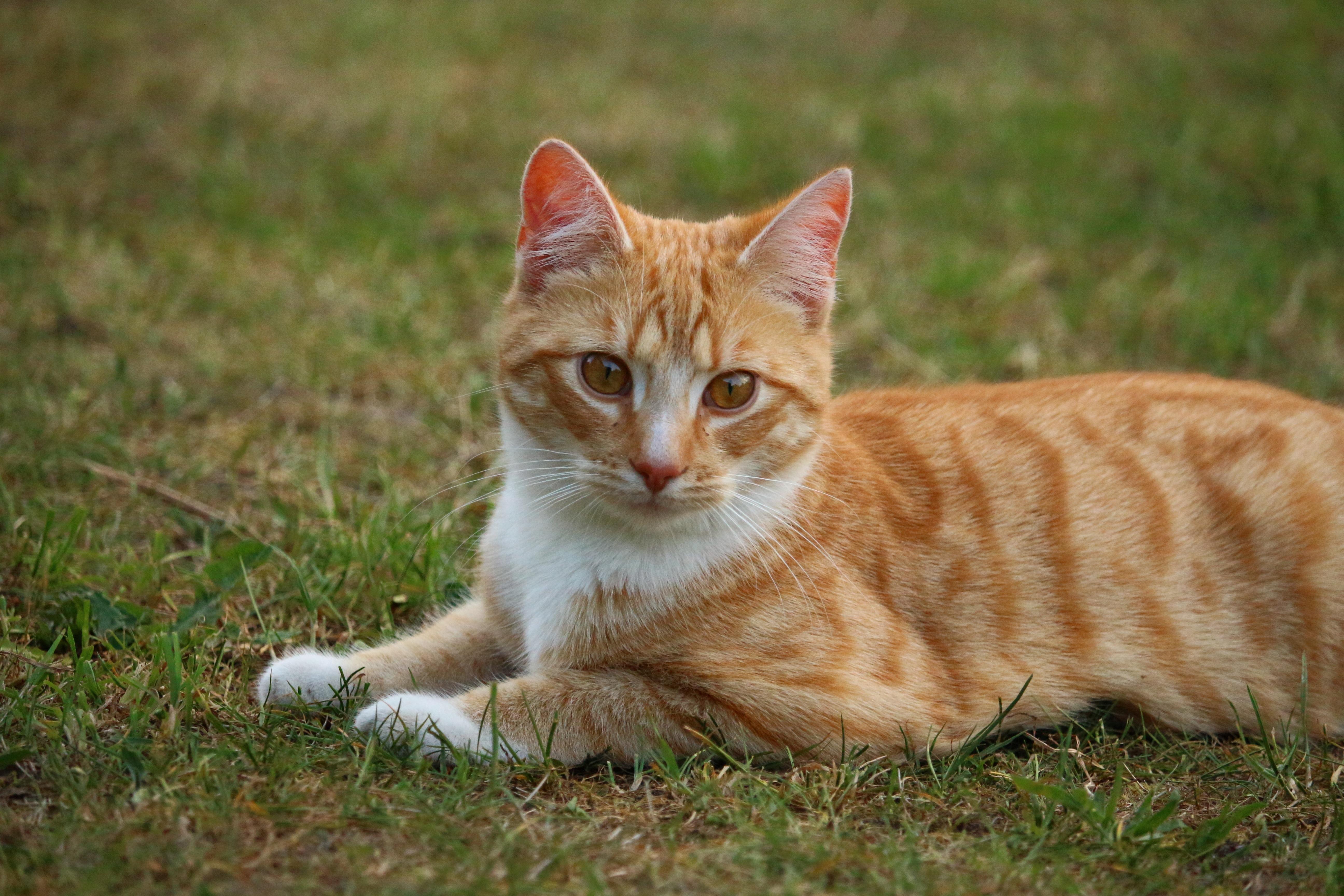 https://get.pxhere.com/photo/grass-kitten-cat-mammal-fauna-whiskers-vertebrate-mieze-domestic-cat-mackerel-tiger-cat-red-cat-tabby-cat-bengal-european-shorthair-wild-cat-small-to-medium-sized-cats-cat-like-mammal-domestic-short-haired-cat-pixie-bob-rusty-spotted-cat-ocicat-toyger-619787.jpg