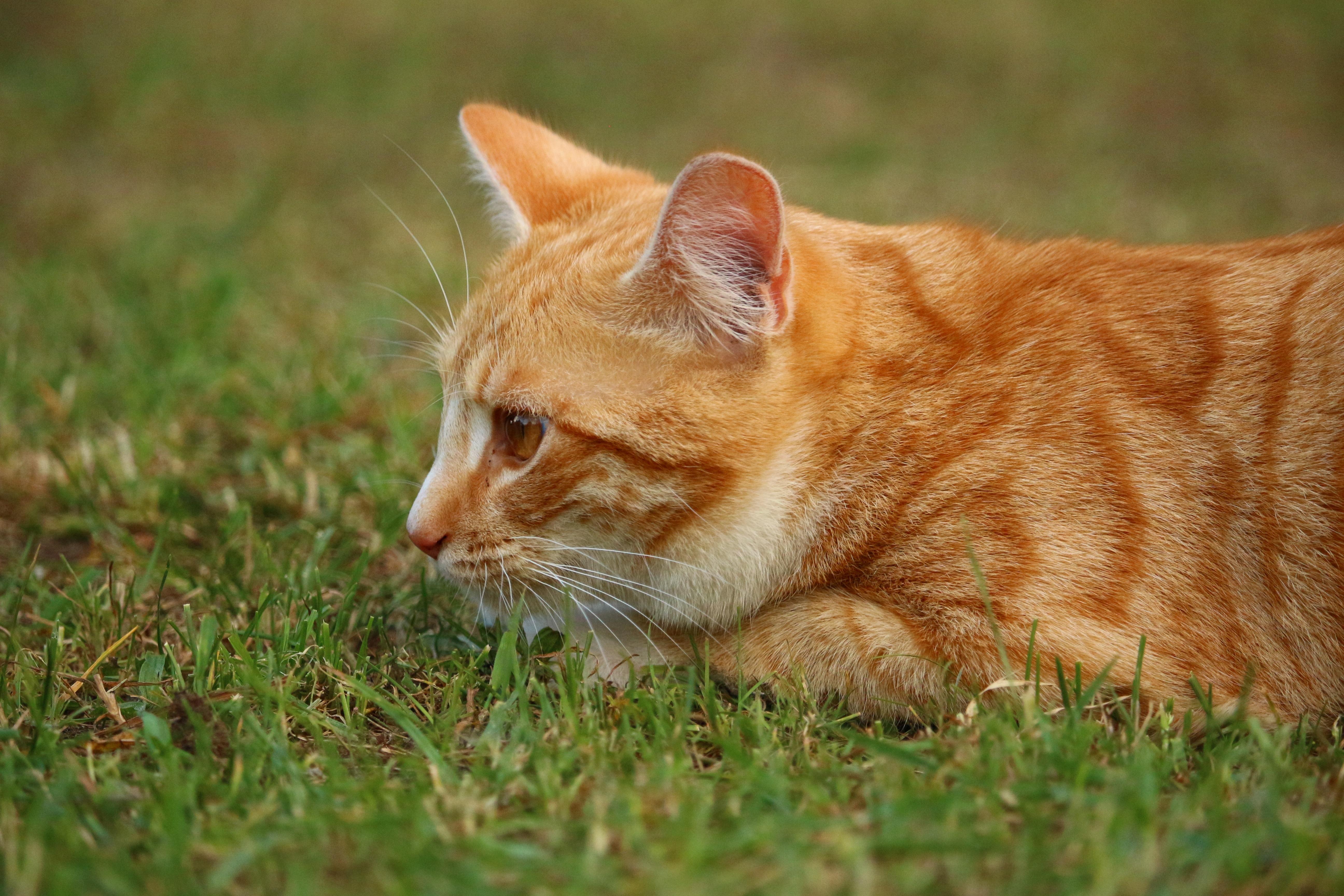 Tiger Tabby Cat 2018 Funny Cats