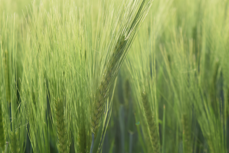 Free Images   Light  Sun  Barley  Prairie  Spring  Crop