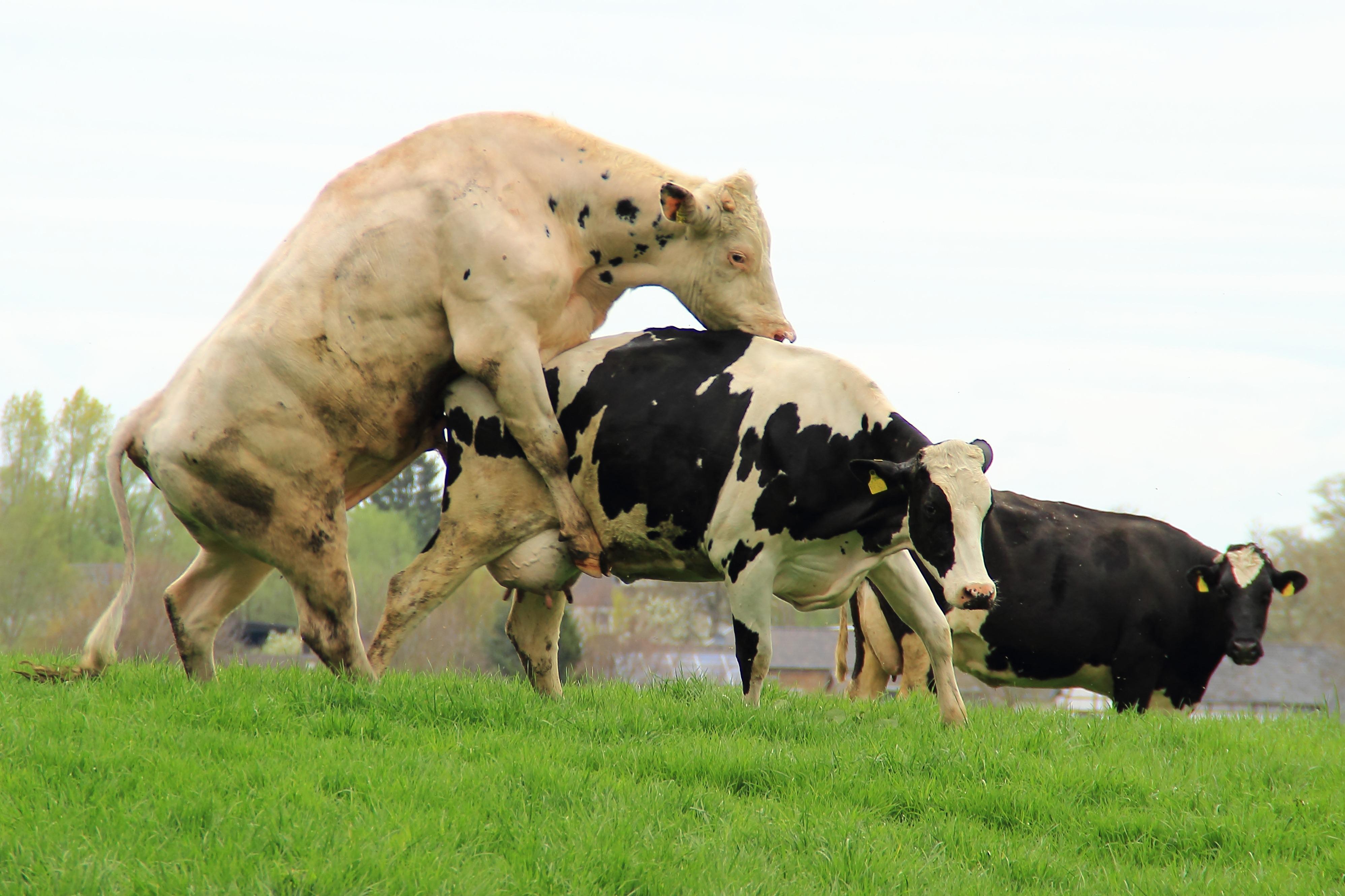 Секс с коровой и быком