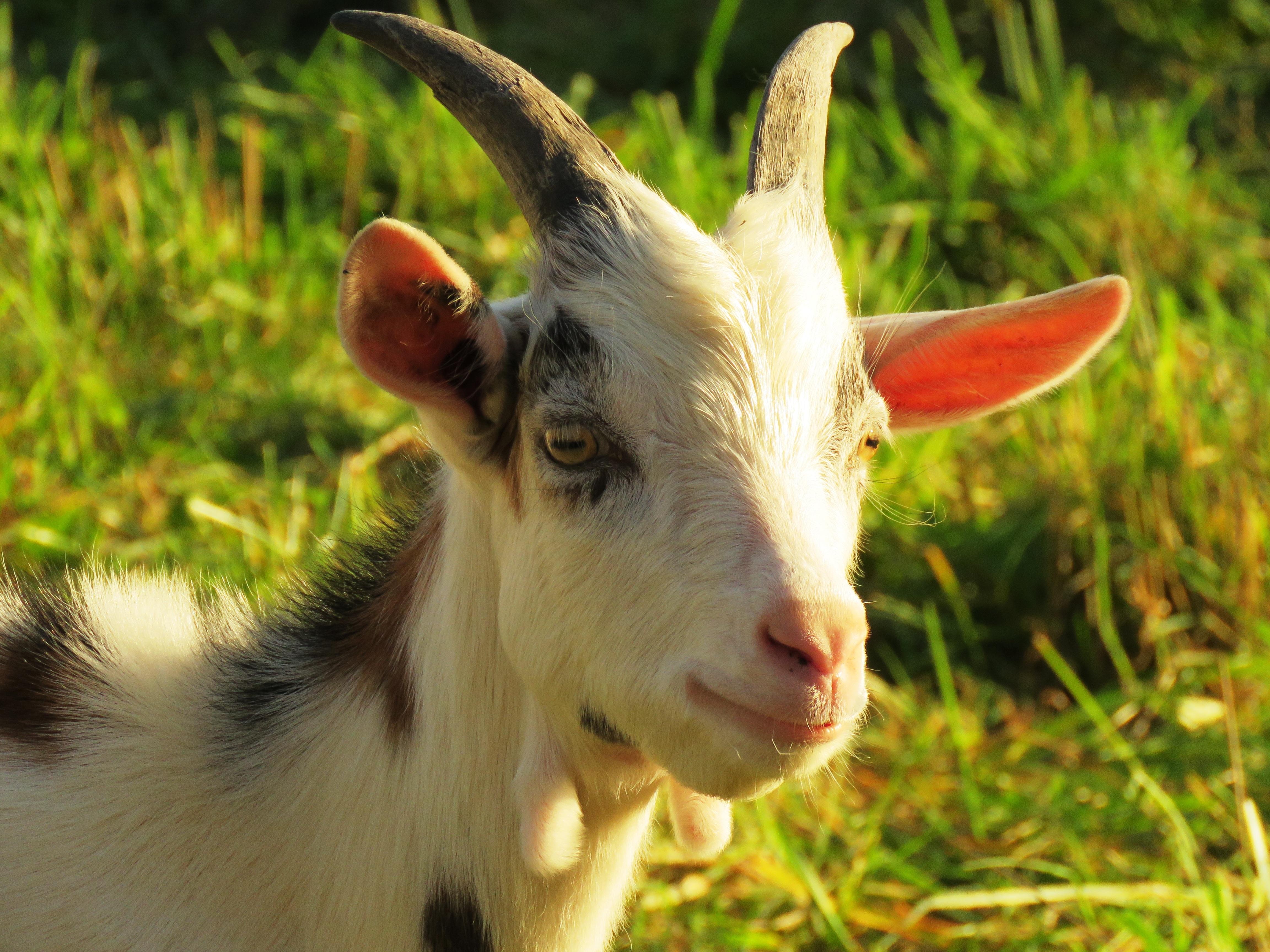 картинки козы картинки козы совместная жизнь