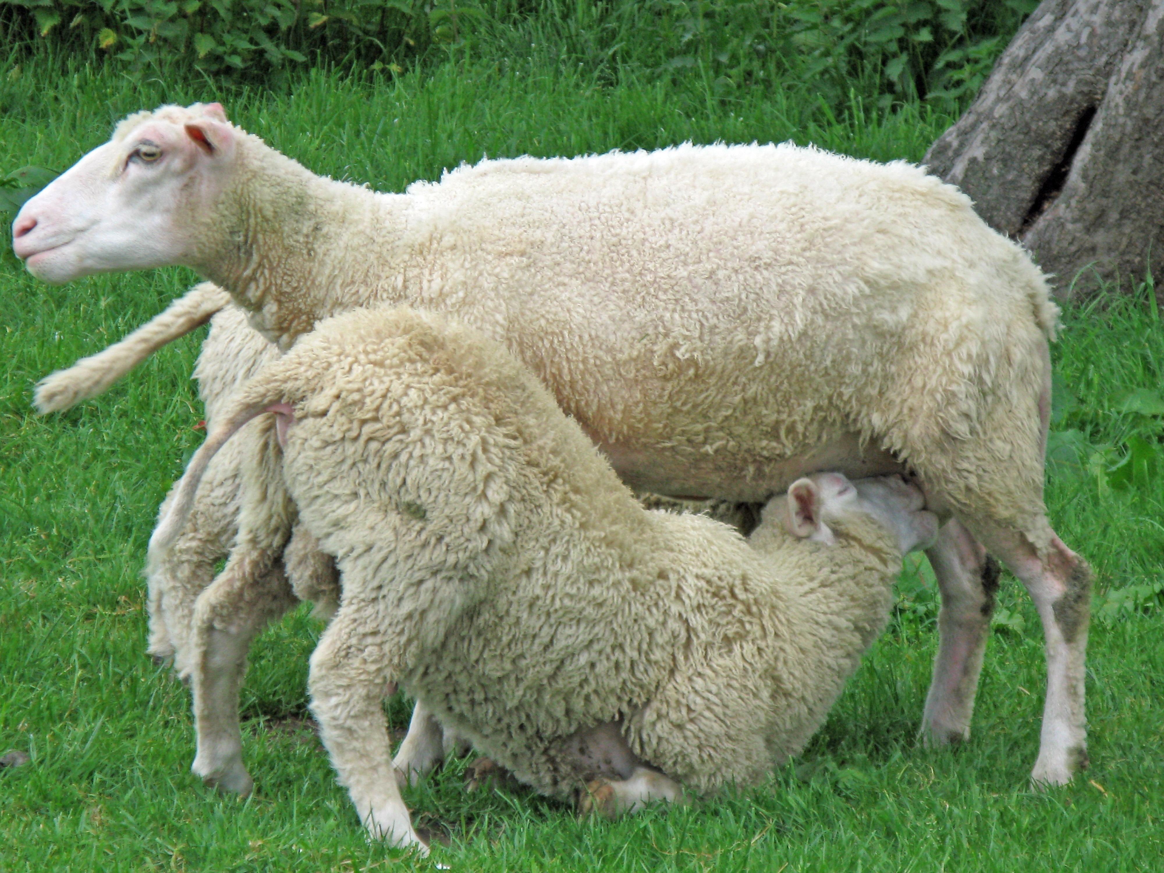Прикольные картинки коз и овец, дню