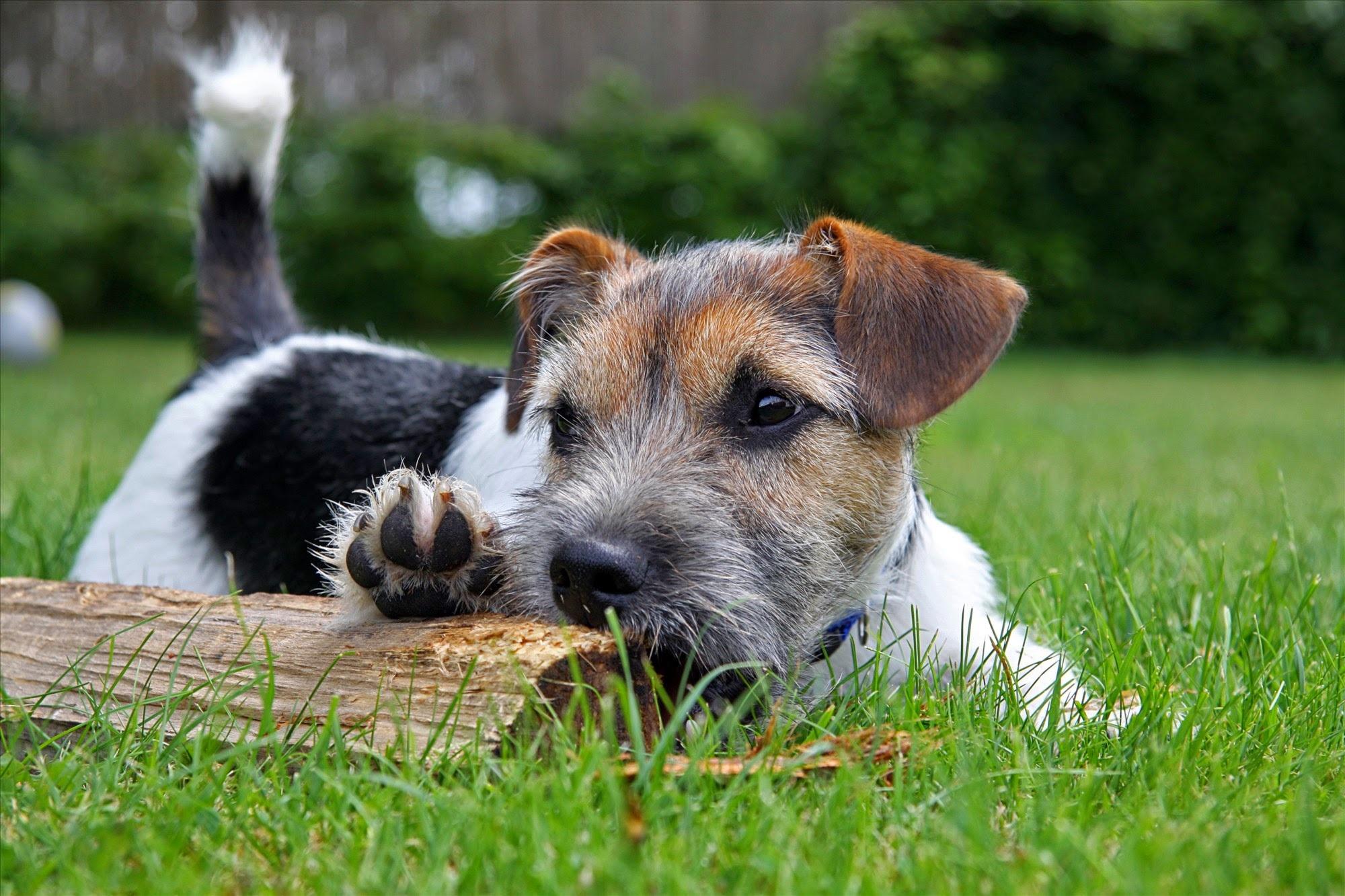 Kostenlose foto : Gras, Wiese, Welpe, Tier, Wirbeltier, Hunderasse ...