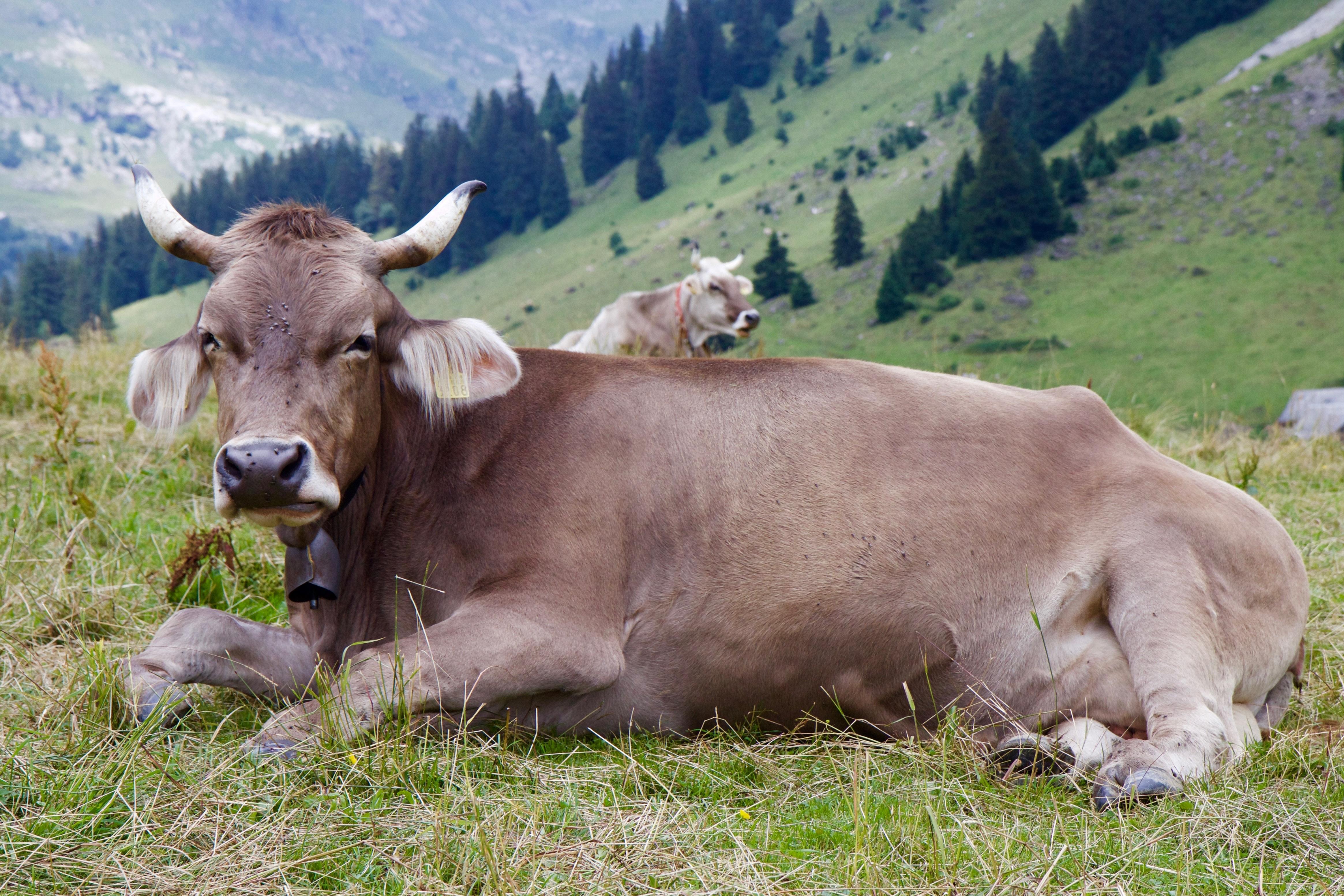 Лежащая корова картинки