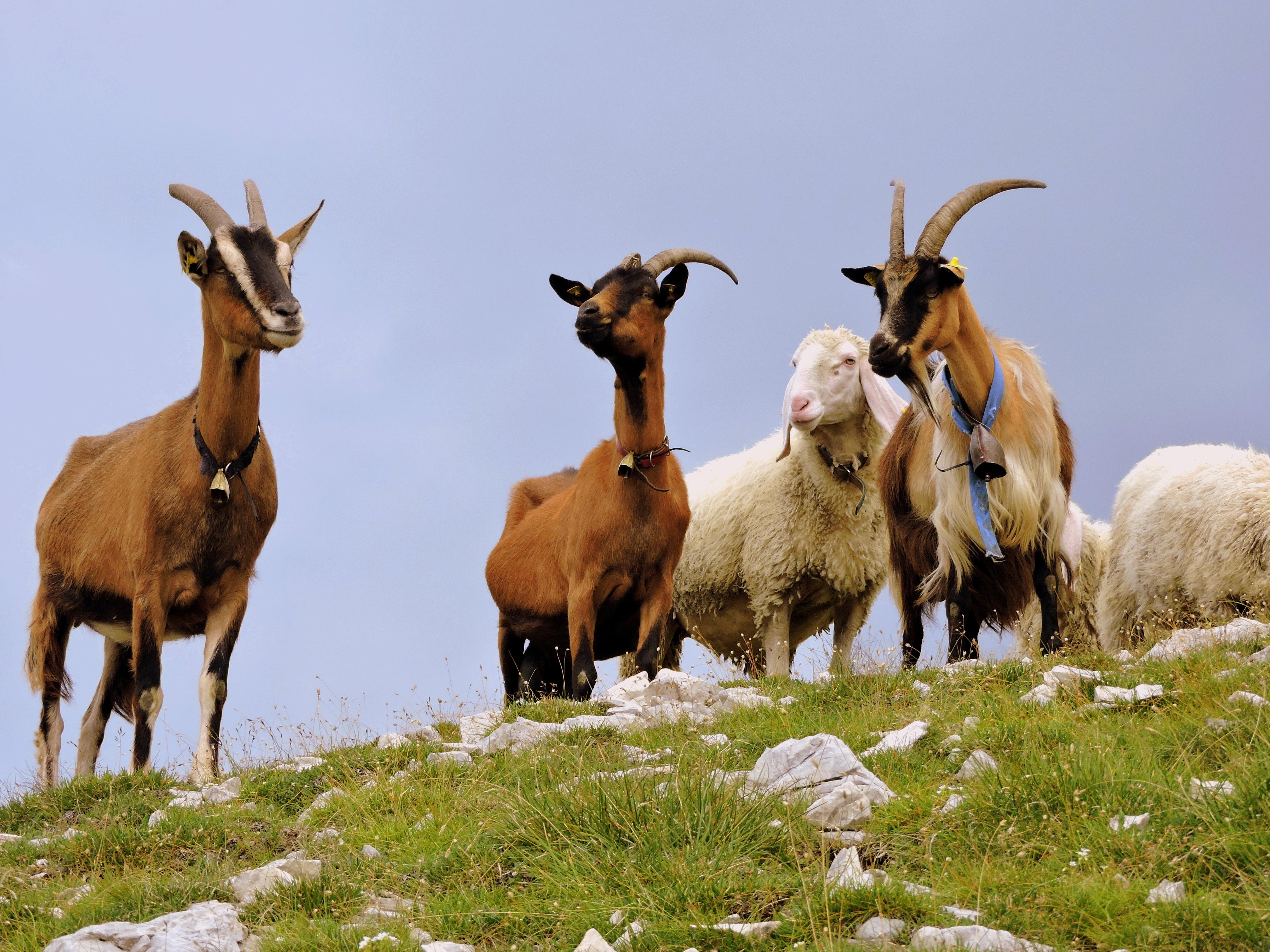 free images grass mountain animal flock wildlife horn green