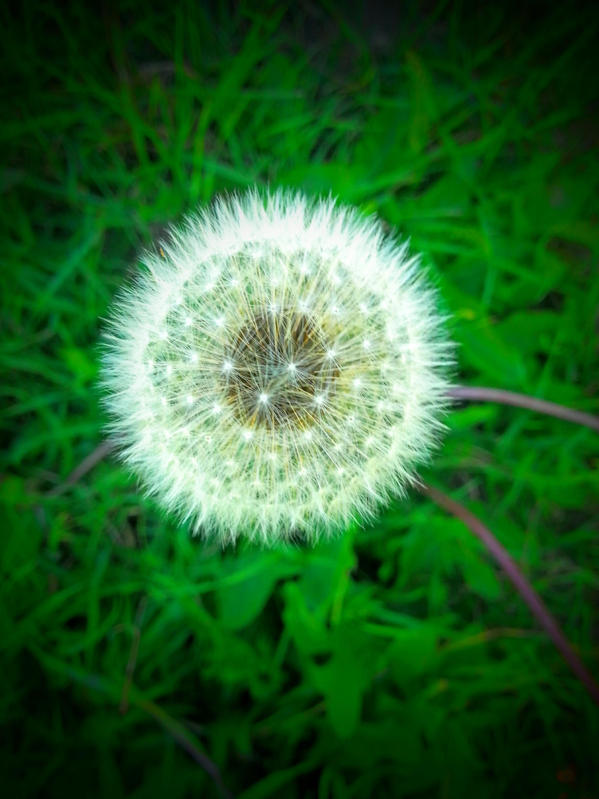 Free Images Grass Dandelion Leaf Green Botany Garden Flora