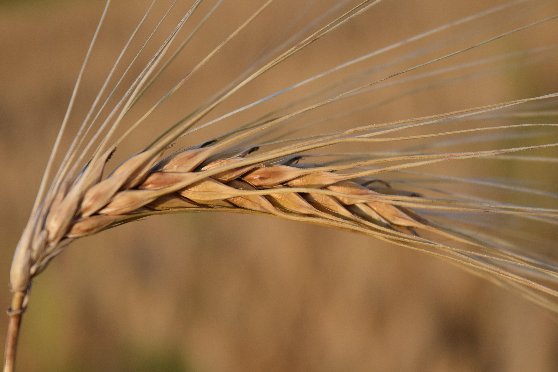 Картинки большие зерно