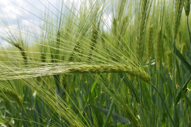 фото ячменя пшеницы ржи личинки