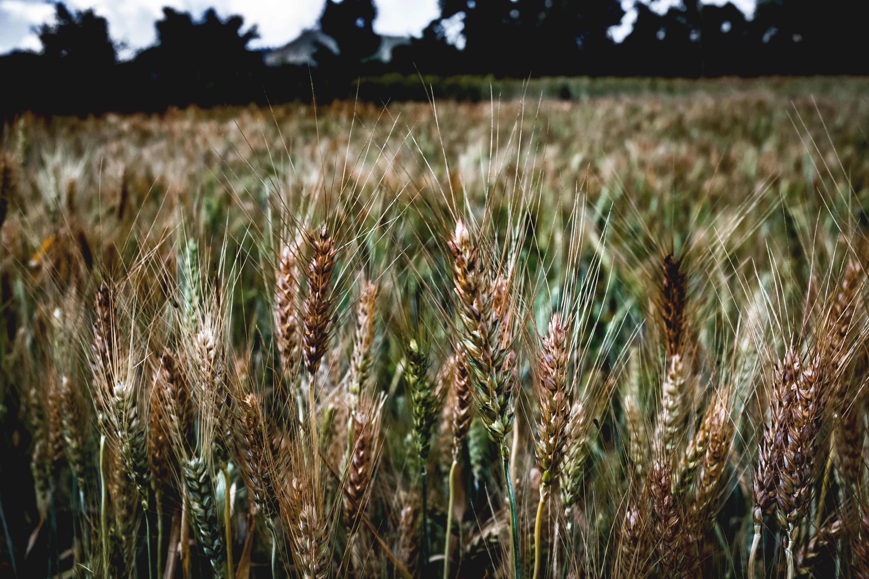 фото ячменя пшеницы ржи подвале нет отдельного