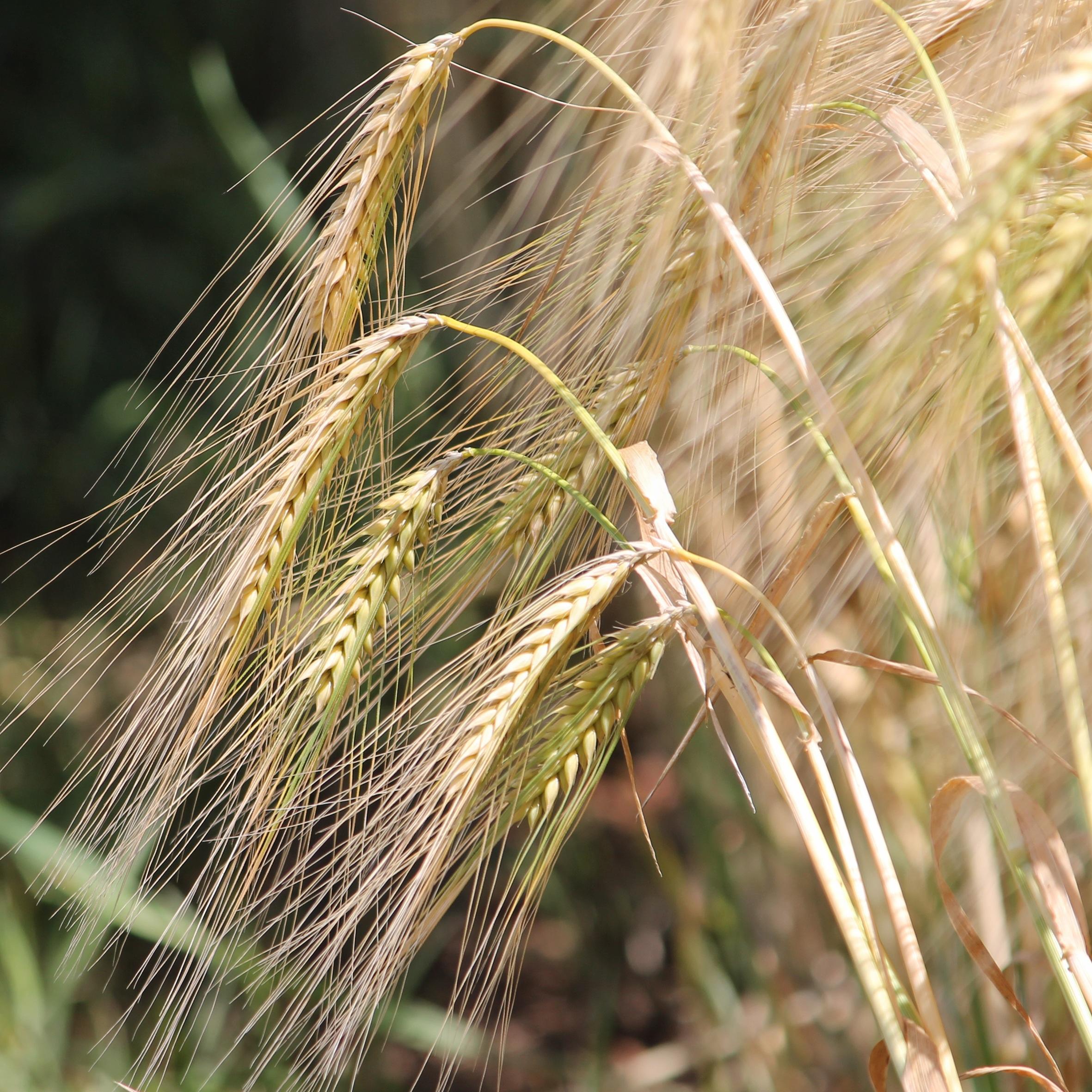 фото ячменя пшеницы ржи