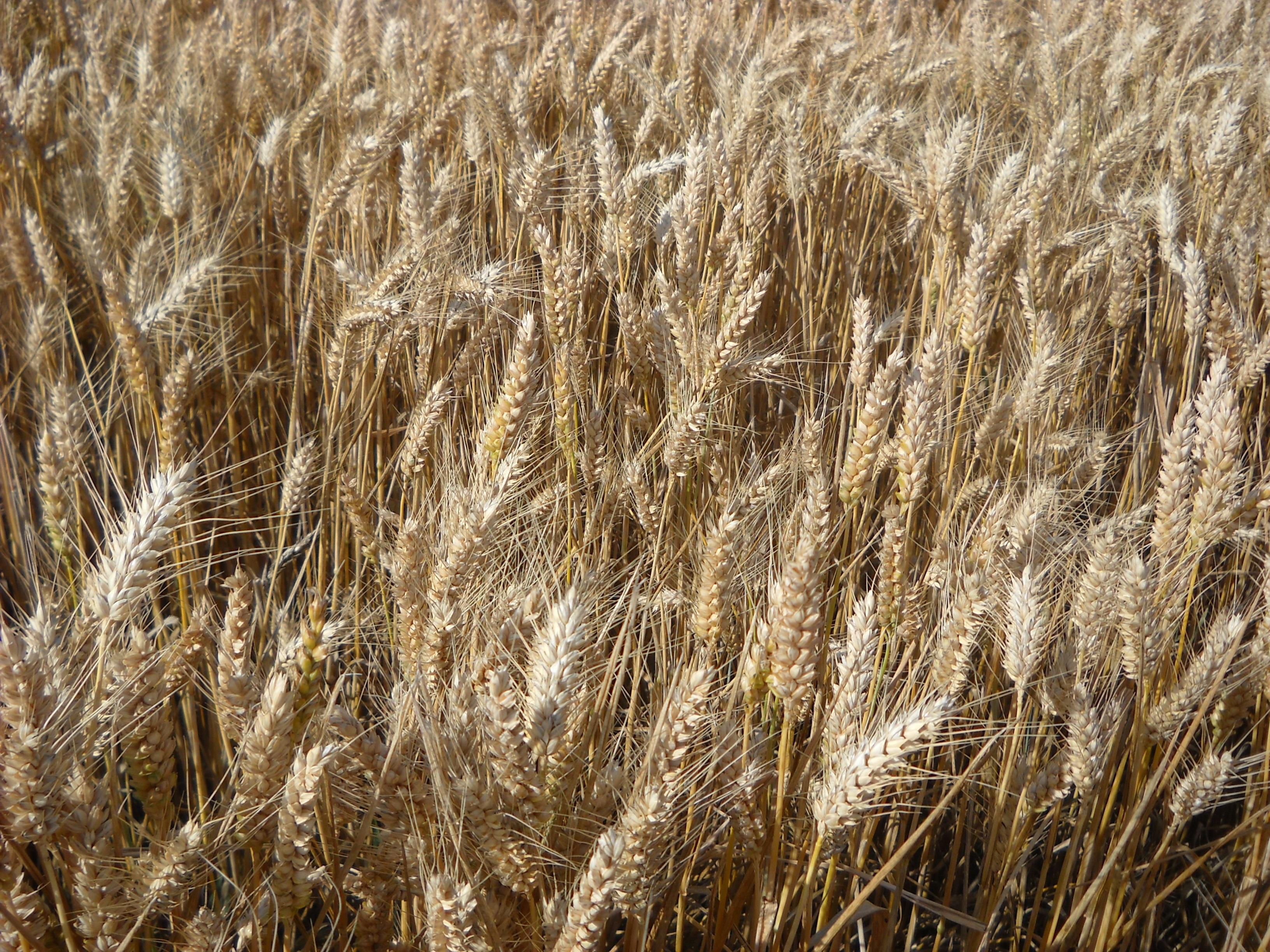 Все о пшенице картинки