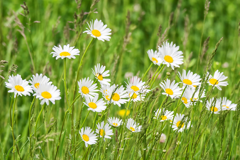 Images Gratuites : herbe, champ, pelouse, Prairie, prairie ... Field Of Daisies