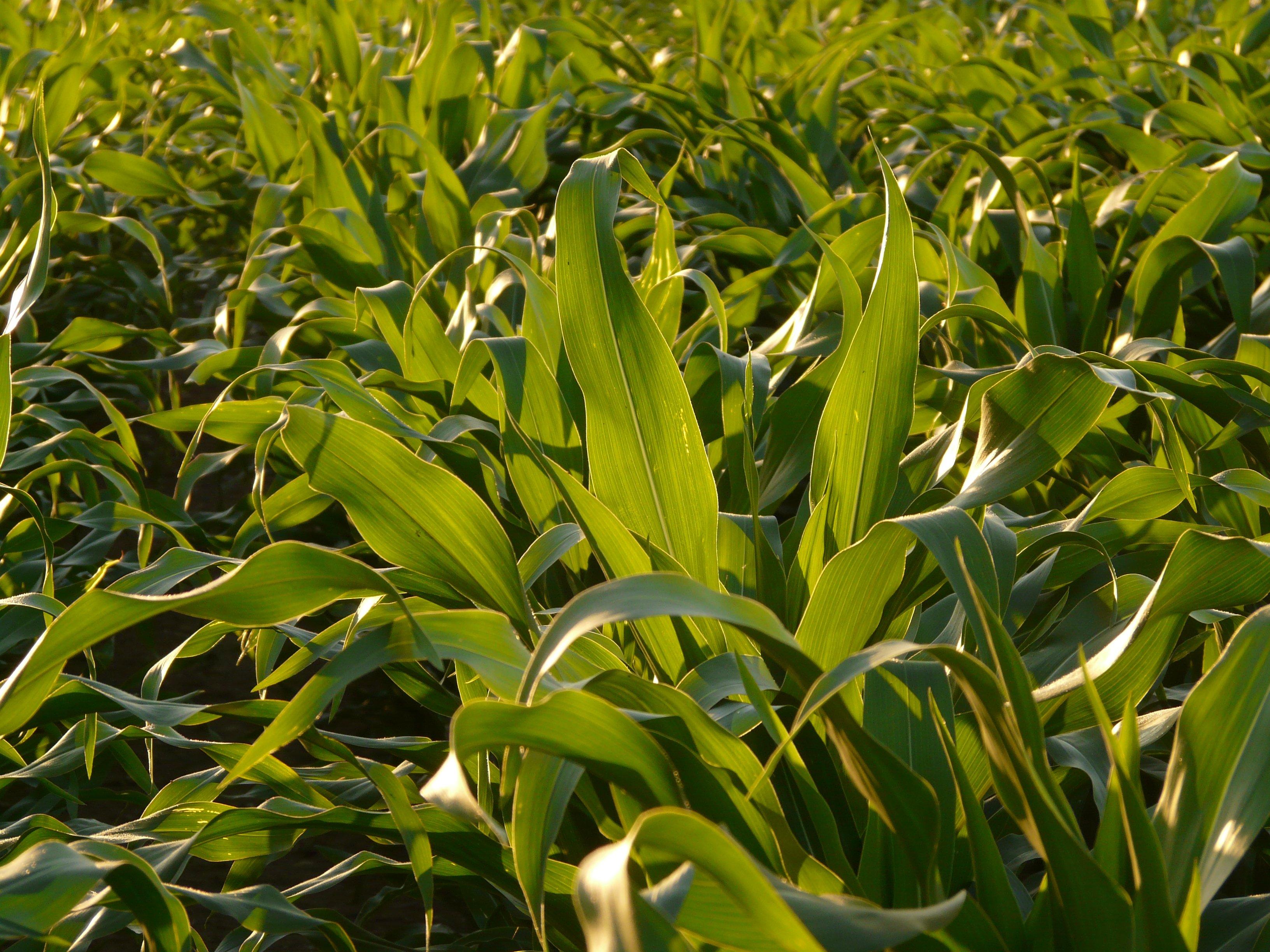 Лист кукурузы картинки
