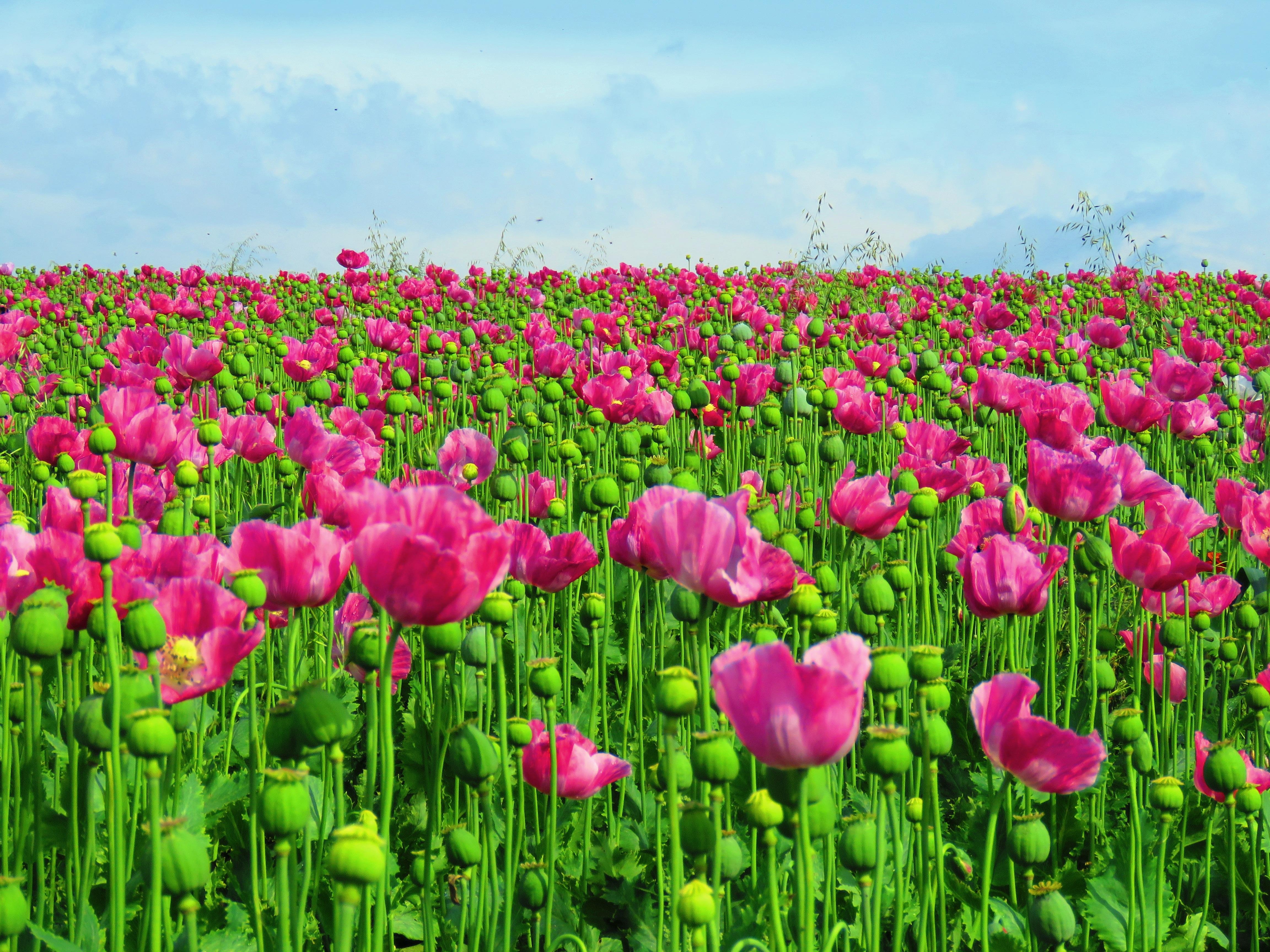 Free images grass meadow petal tulip flora poppy flower grass plant field meadow flower petal tulip flora capsule poppy flower poppy poppies flowering plant field mightylinksfo