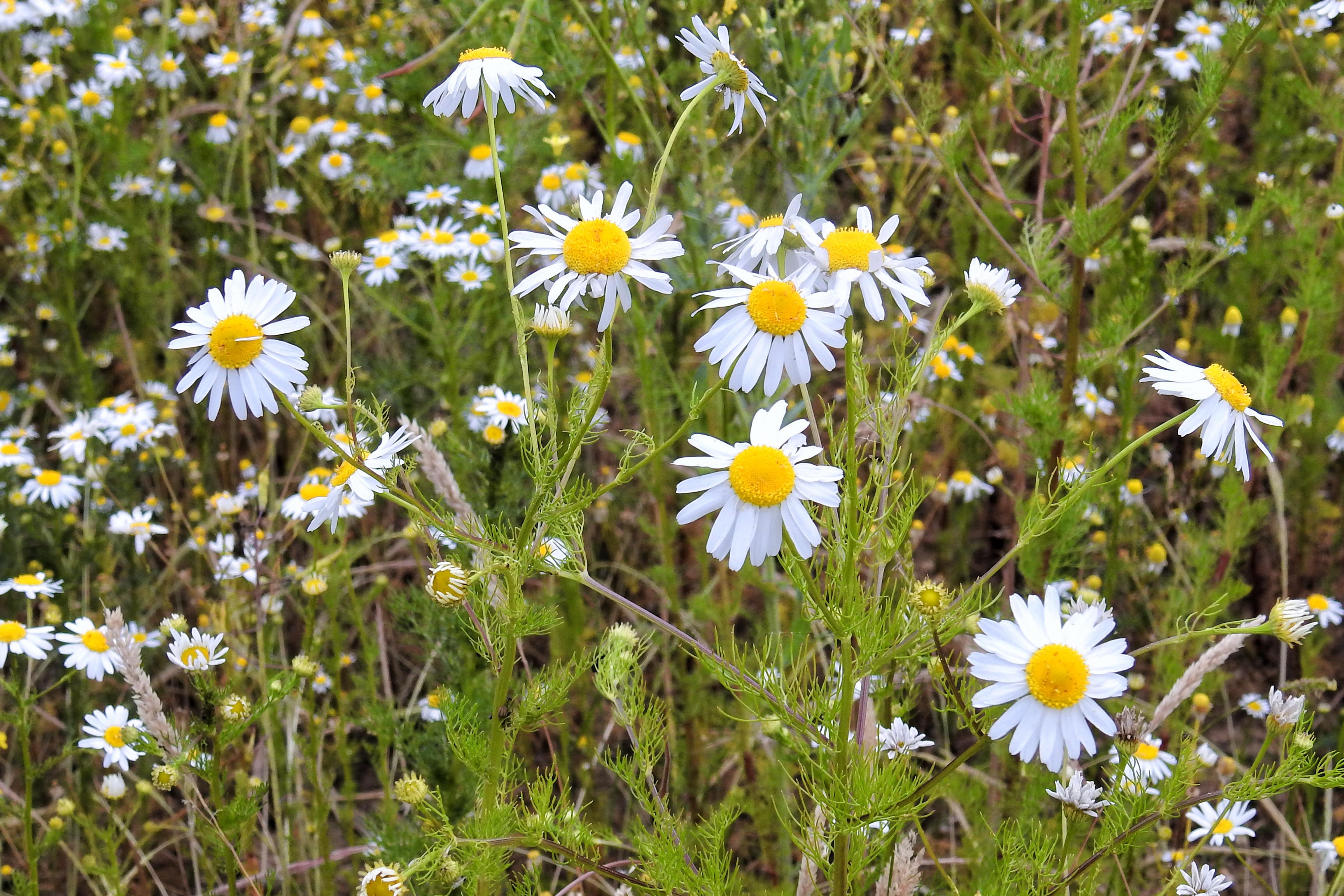 Gambar Menanam Bidang Padang Rumput Bunga Aster Herba Botani Flora Bunga Liar Pinggir Jalan Kamomil Tanaman Obat Tanaman Berbunga Keluarga Daisy Jamu Pinggir Lapangan Mata Lembu Daisy Bunga Chamomile Tanaman Tanah