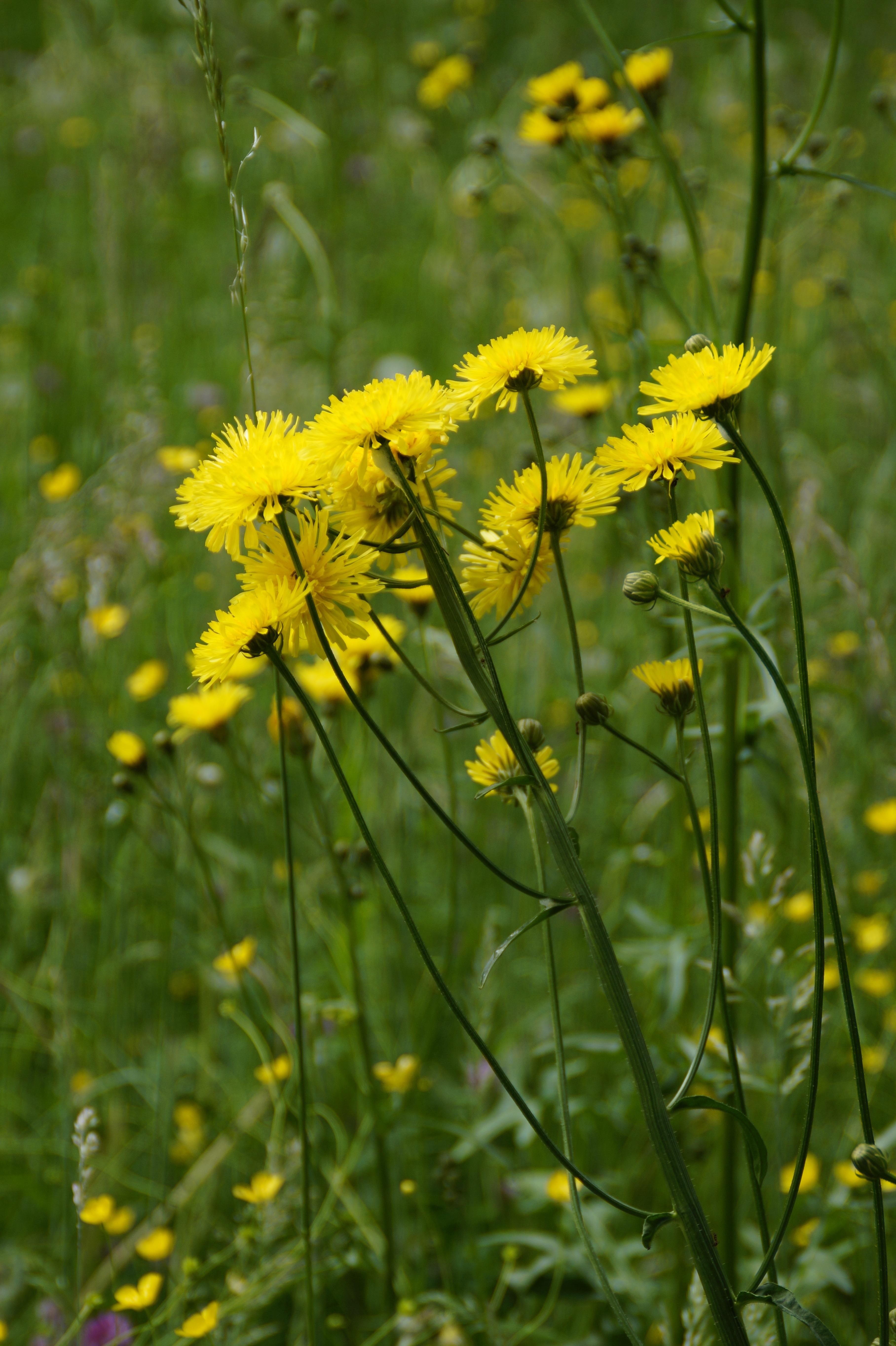 желтые цветы фото с названиями полевые под ивой как