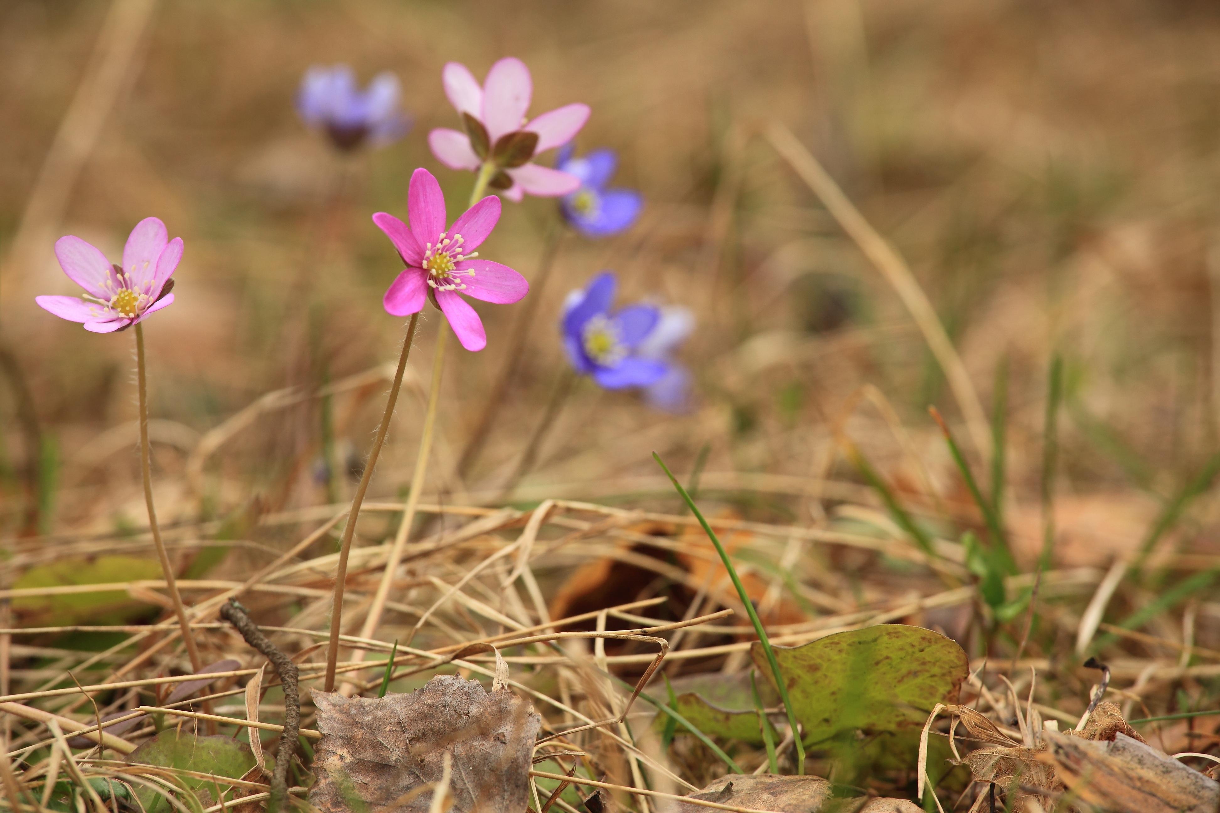 Free Images Field Meadow Prairie Soil Flora Wildflower Close
