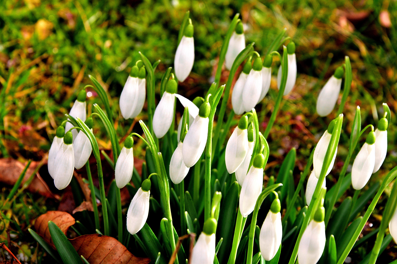 banco de imagens grama plantar flor bot nica flora a afr o snowdrop fevereiro. Black Bedroom Furniture Sets. Home Design Ideas