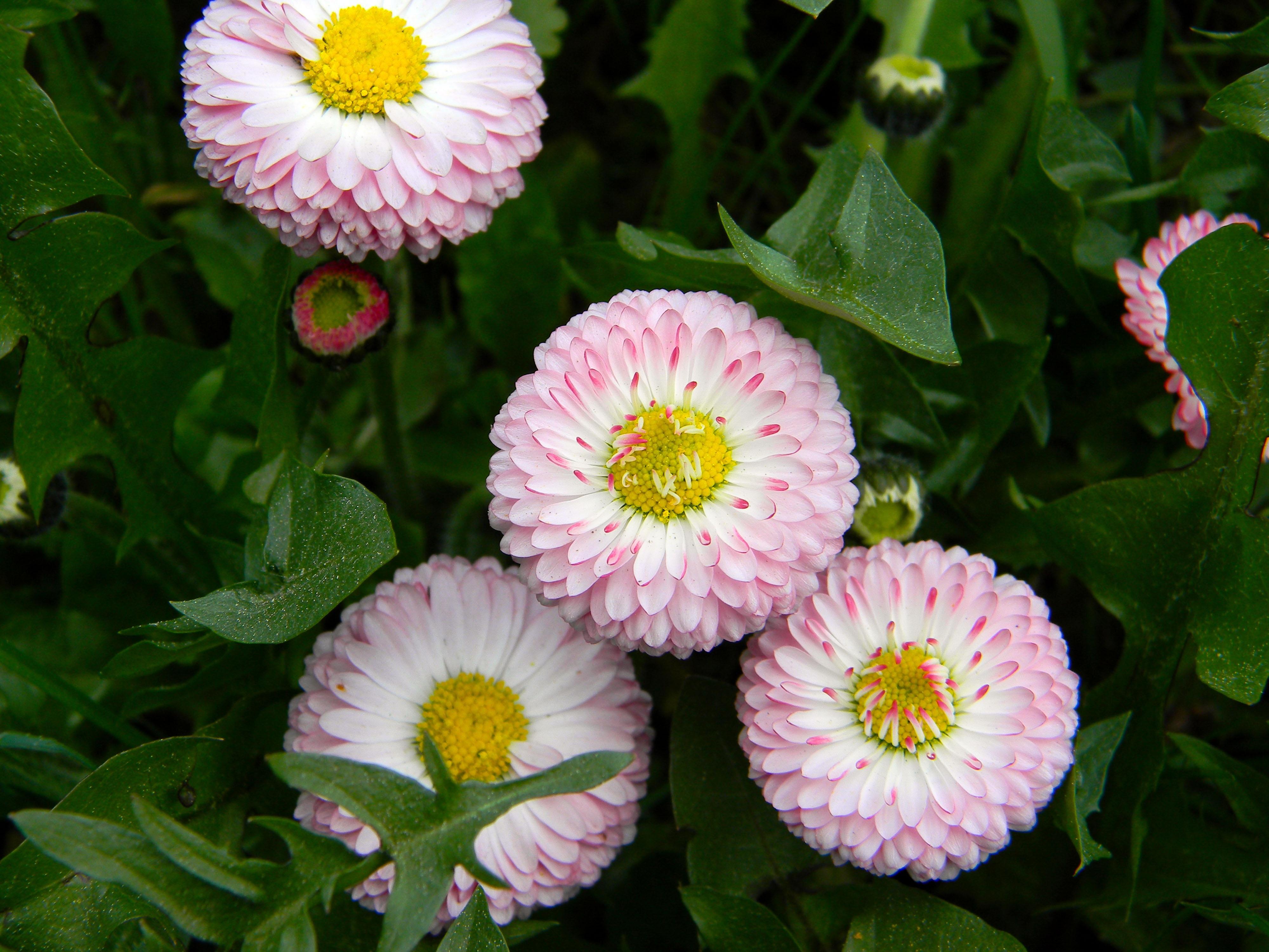 images gratuites : herbe, fleur, pétale, botanique, flore