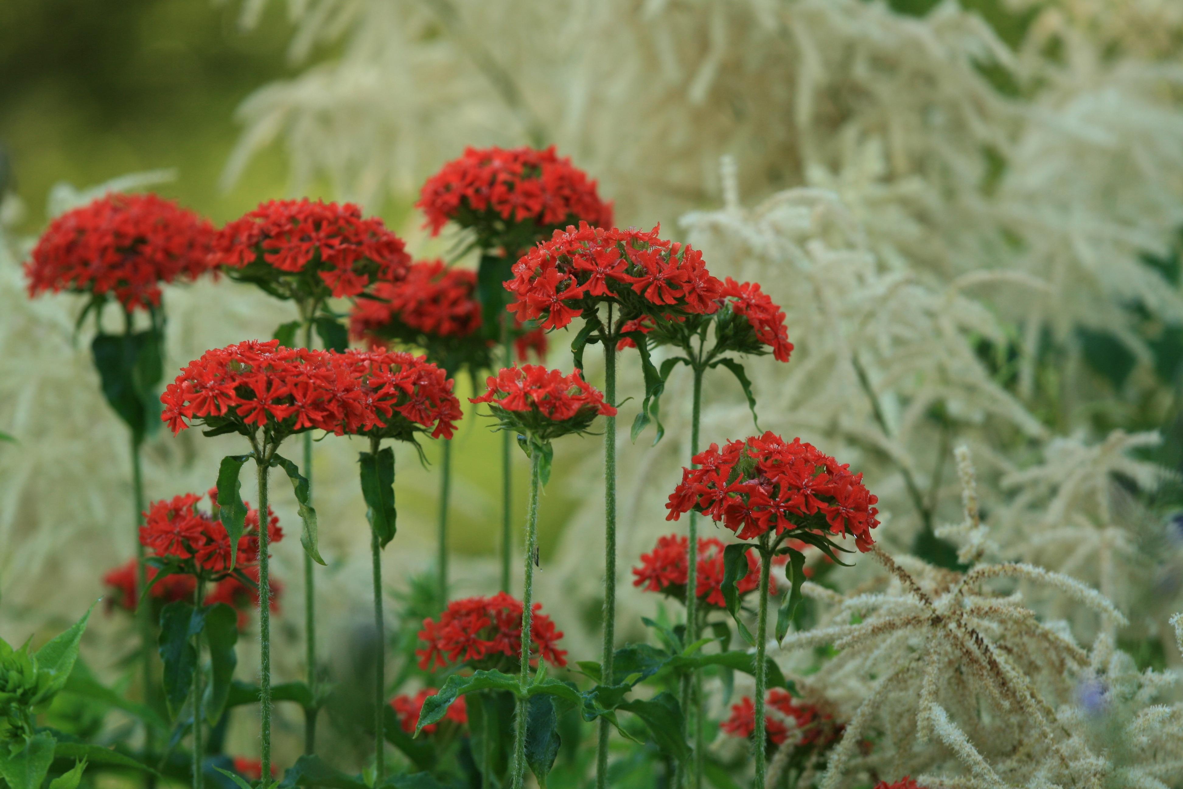images gratuites herbe p tale t printemps flore fleur rouge arbuste achill e plante. Black Bedroom Furniture Sets. Home Design Ideas