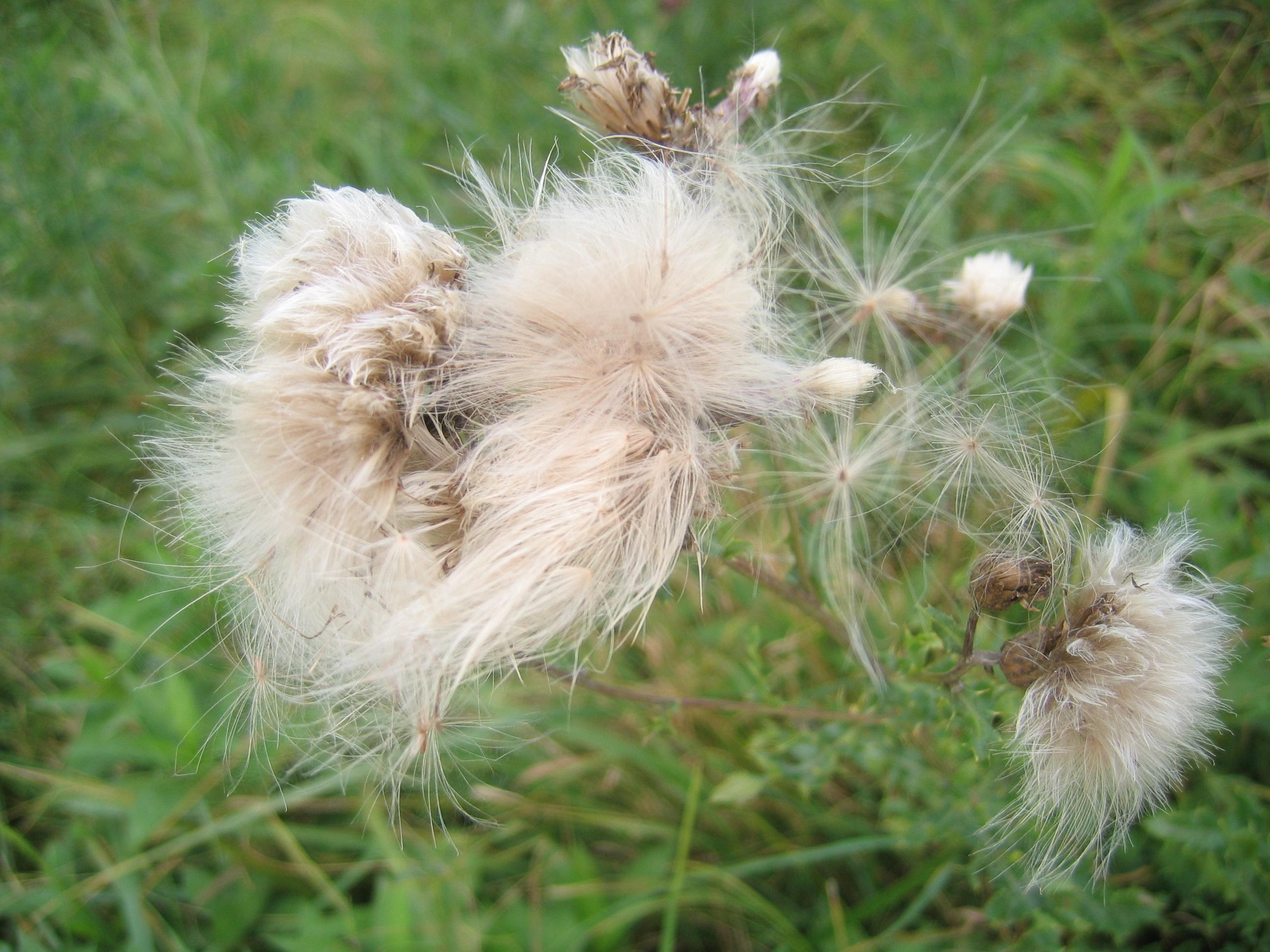 Hairy bittercress seed dispersal