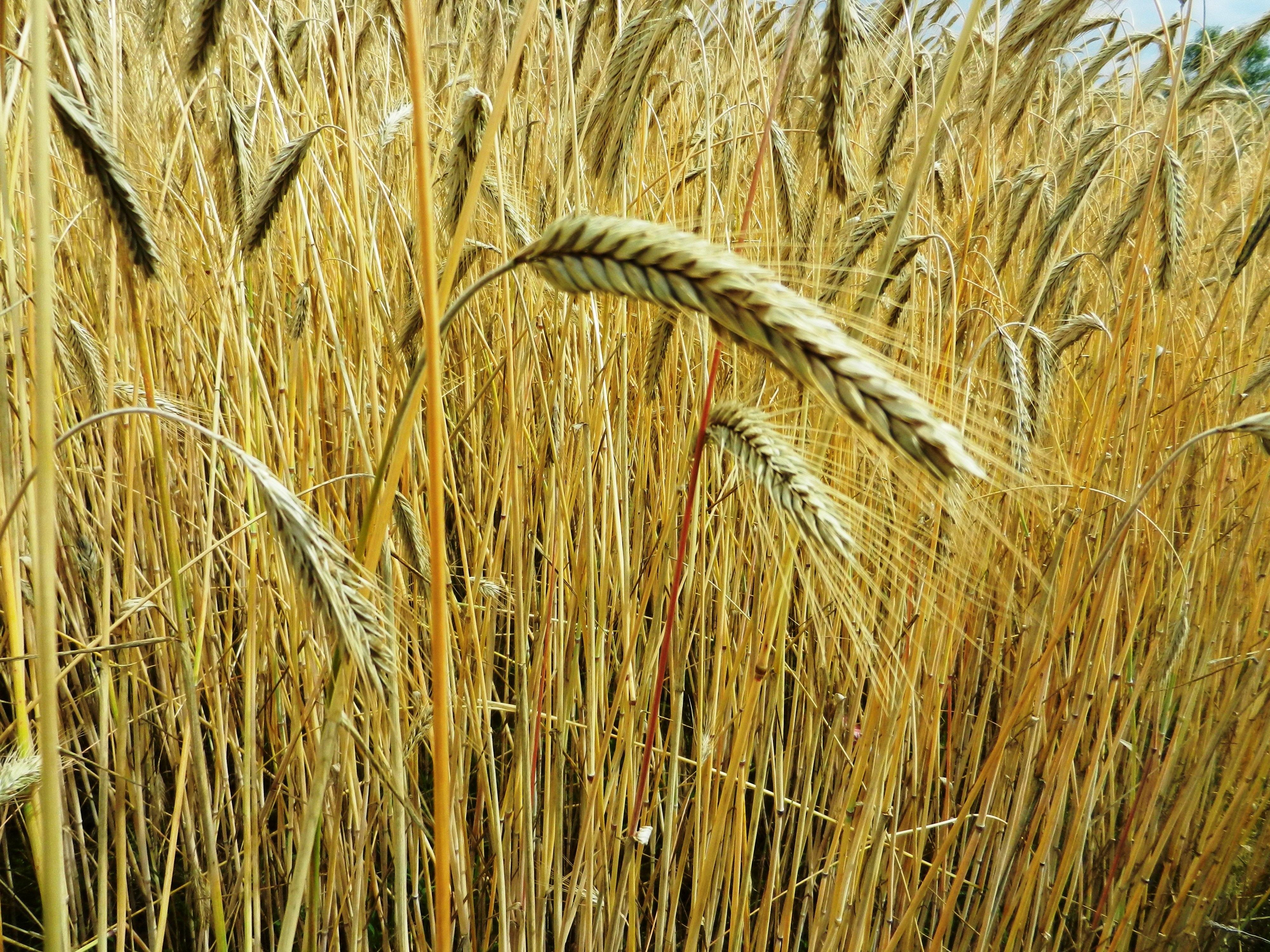 Fotos Gratis C 233 Sped Heno Campo Cebada Trigo Grano