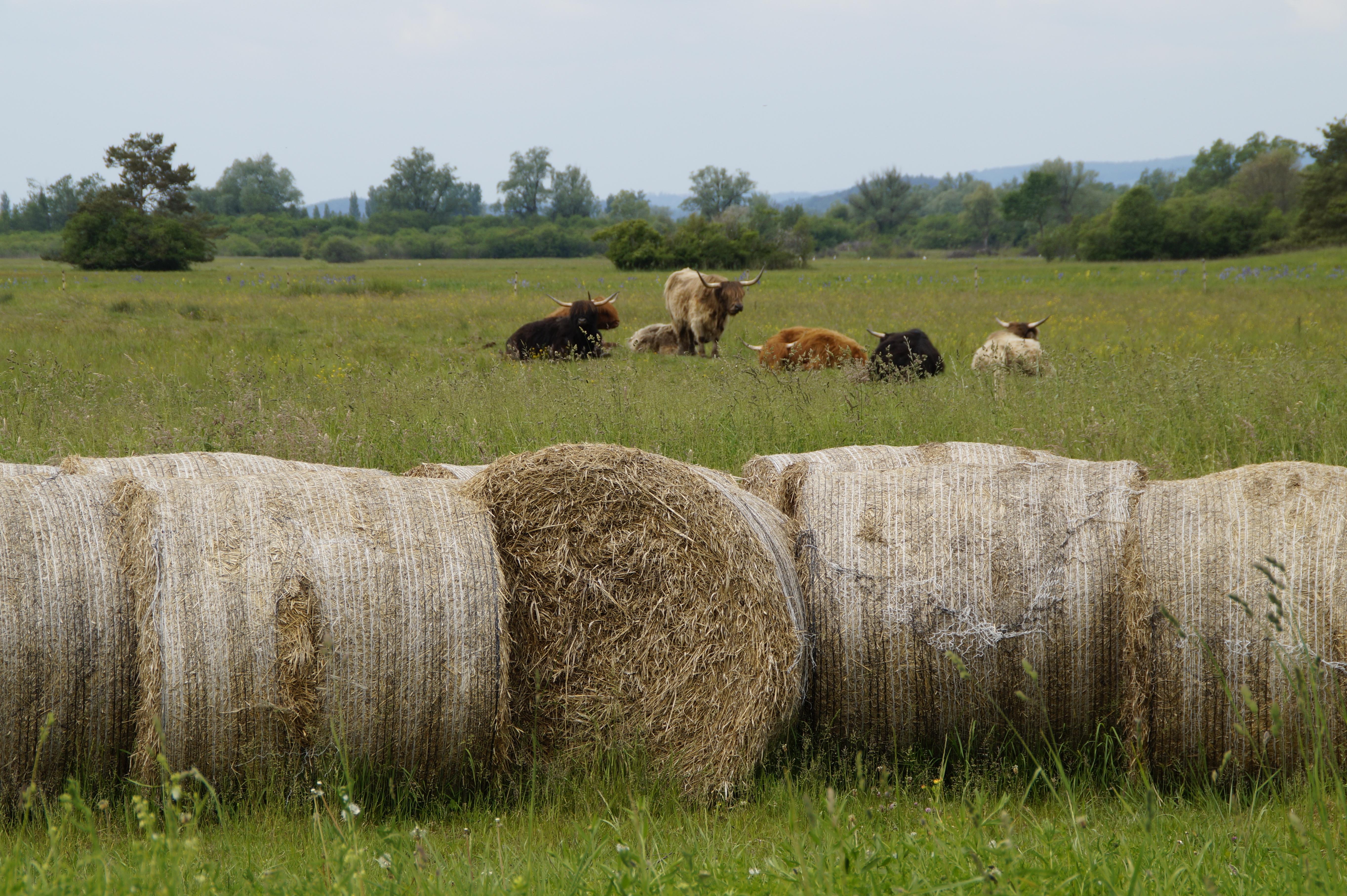 Трава для коровы фото