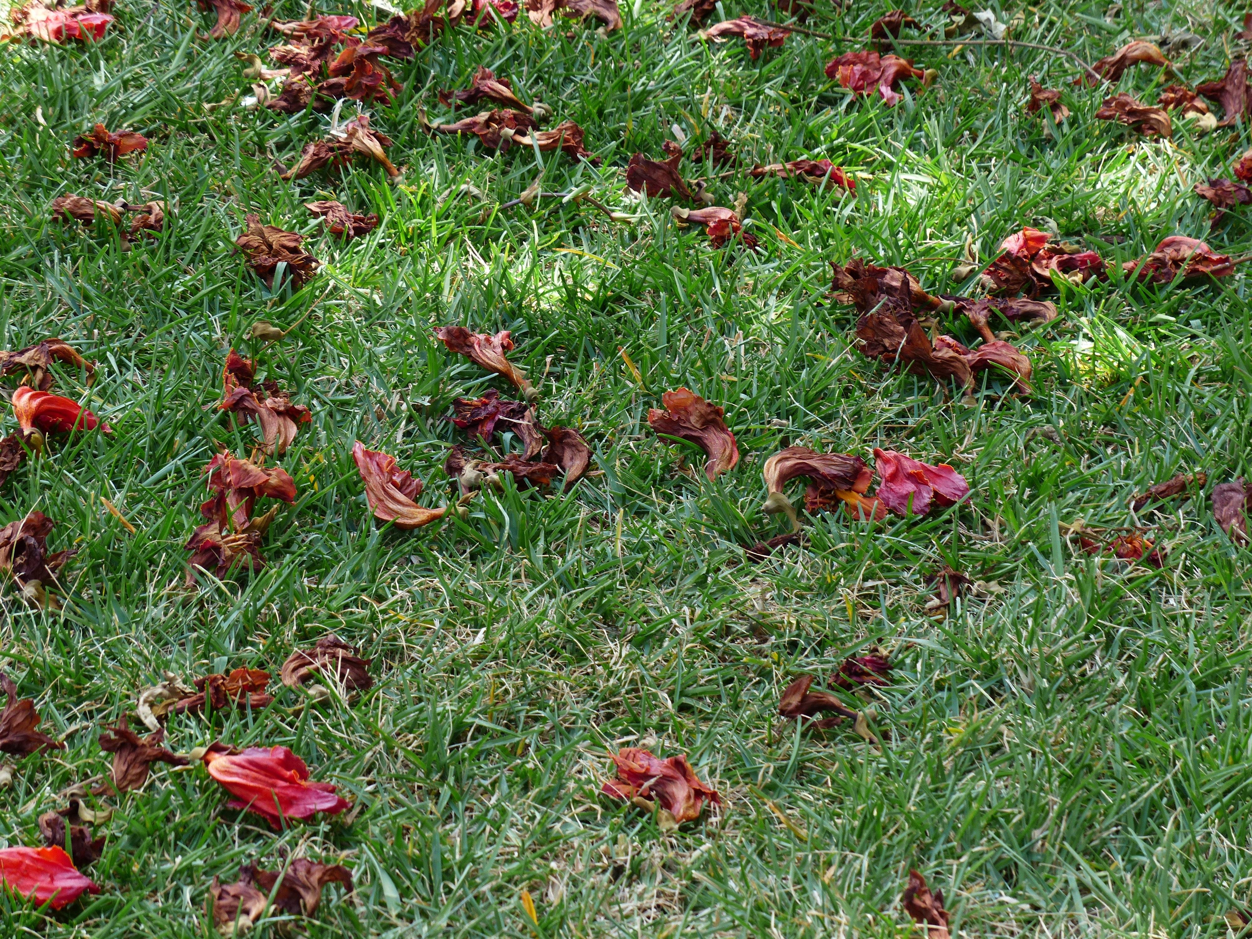 Fotos gratis c sped prado pradera hoja seco rojo for Arbol rojo jardin
