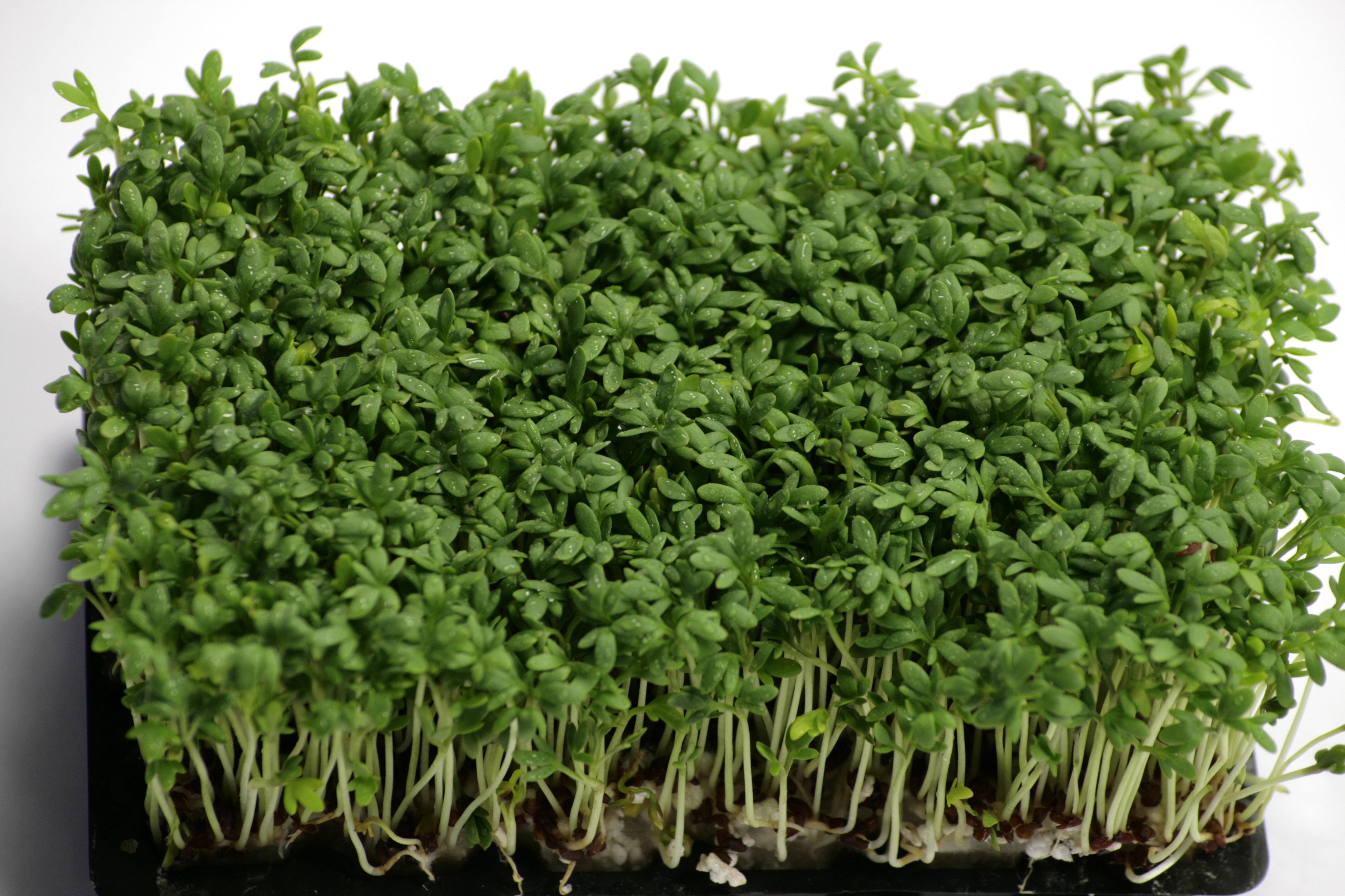 nasturel planta poze