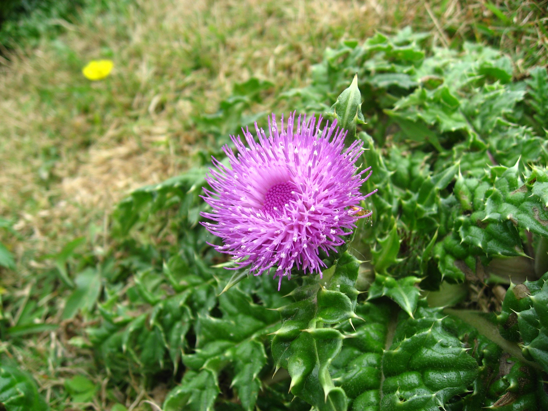 Images gratuites herbe feuille fleur vert produire for Plante annuelle